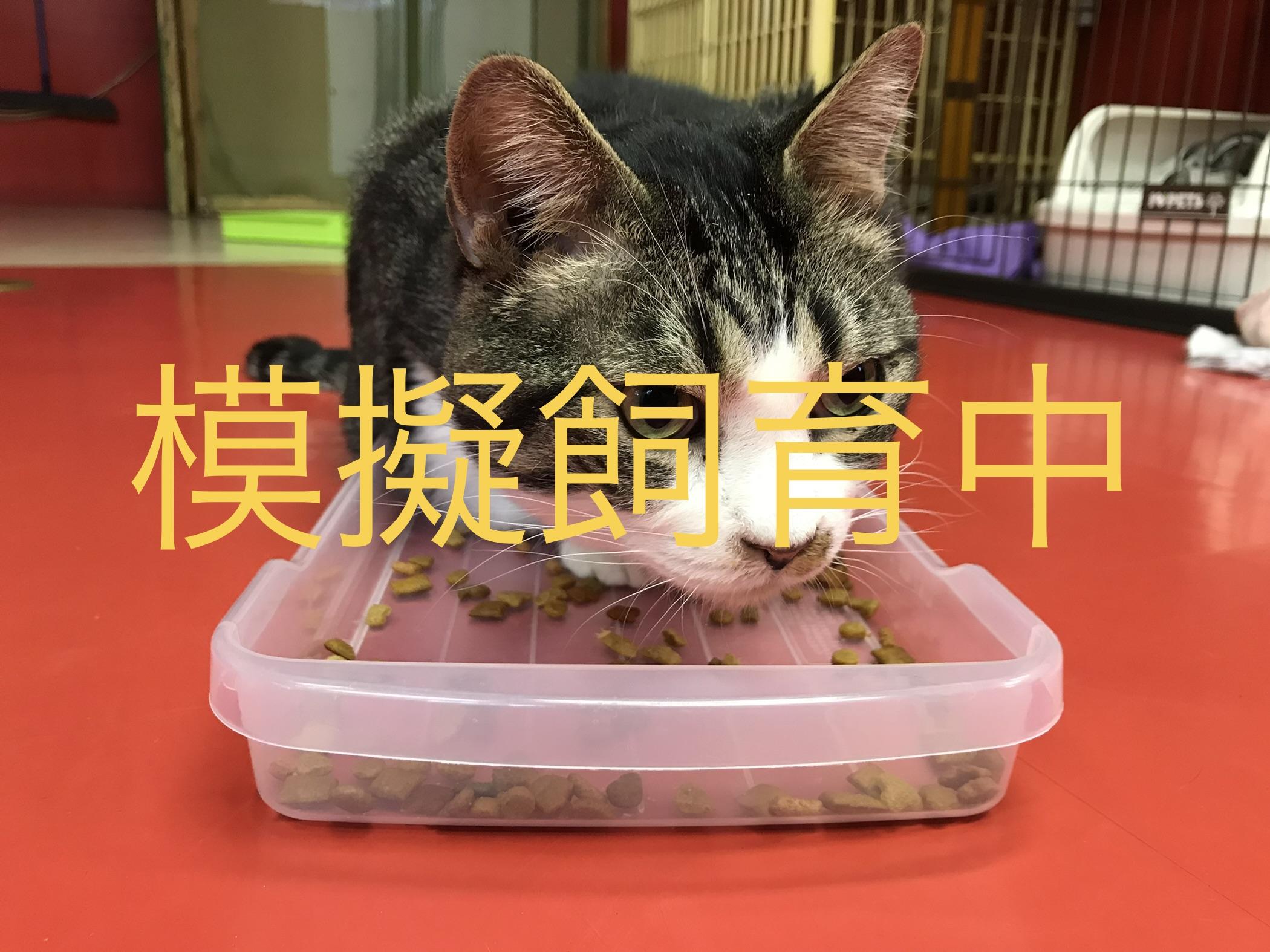 <ul> <li>F1-5</li> <li>猫種:日本猫 キジトラ白</li> <li>性別:男の子</li> <li>名前:キング</li> <li>年齢:5才</li> <li>保護経緯:飼い主様の諸事情により飼育困難になりました</li> <li>その他:去勢済み</li> </ul>