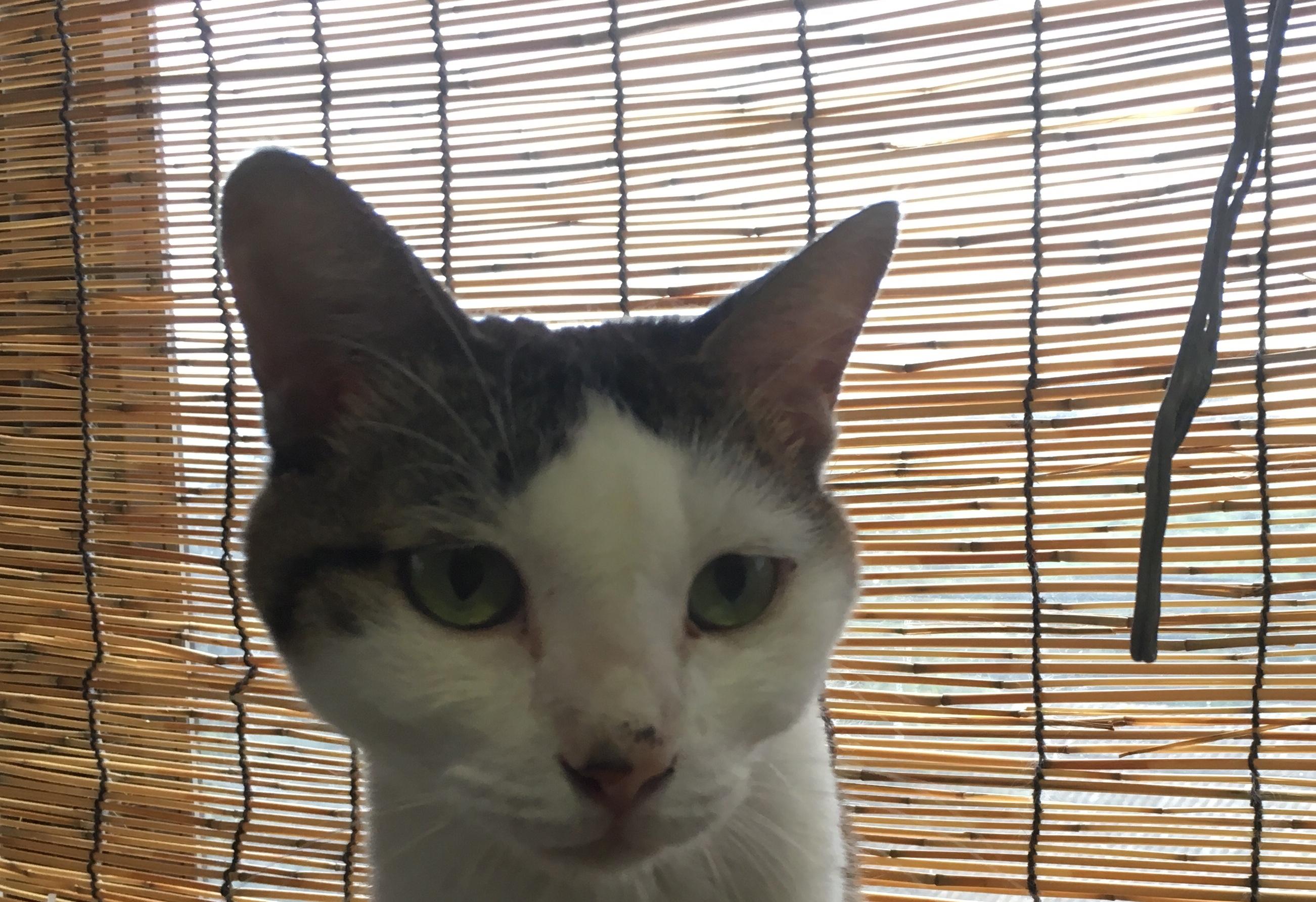 <ul> <li>H3-9</li> <li>猫種:日本猫 キジトラ白</li> <li>性別:女の子</li> <li>名前:クロりん</li> <li>年齢:8才</li> <li>保護経緯:飼い主様の病気療養により飼育困難になりました</li> <li>その他:避妊済み</li> </ul>