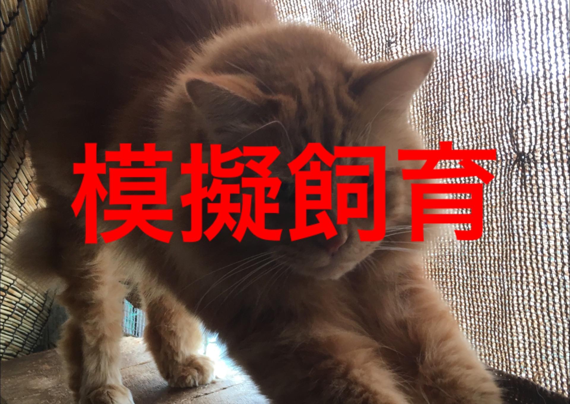<ul> <li>猫種:茶トラ 長毛</li> <li>性別:男の子</li> <li>名前:小虎(ことら)</li> <li>年齢:5才</li> <li>保護経緯:引っ越しのため飼育困難になりました</li> <li>その他:去勢済み</li> </ul>