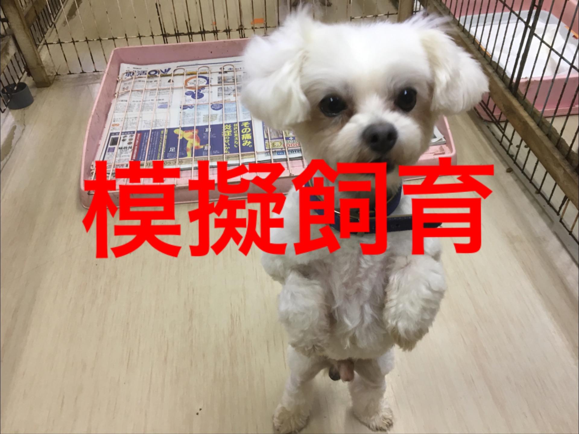 <ul> <li>H8-15</li> <li>犬種:チワワ×マルチーズ</li> <li>性別:男の子</li> <li>名前:小太郎</li> <li>年齢:5才</li> <li>保護経緯:飼い主様が高齢のため飼育困難になりました</li> </ul>