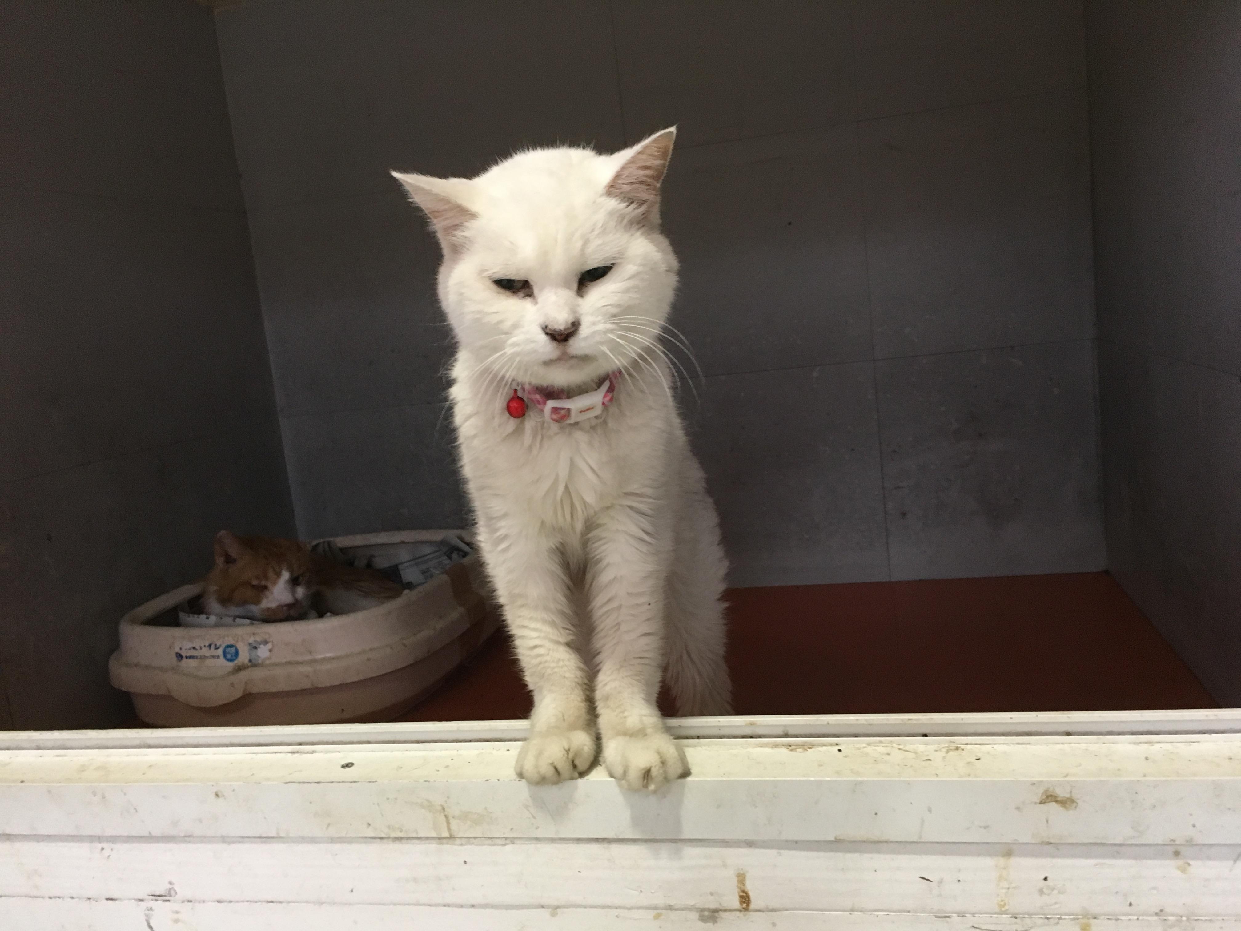 <ul> <li>H7-2</li> <li>猫種:日本猫 白</li> <li>性別:女の子</li> <li>名前:そのこ</li> <li>年齢:16才</li> <li>保護経緯:飼い主様が亡くなられたため飼育困難になりました</li> <li>その他:避妊済み</li> </ul>