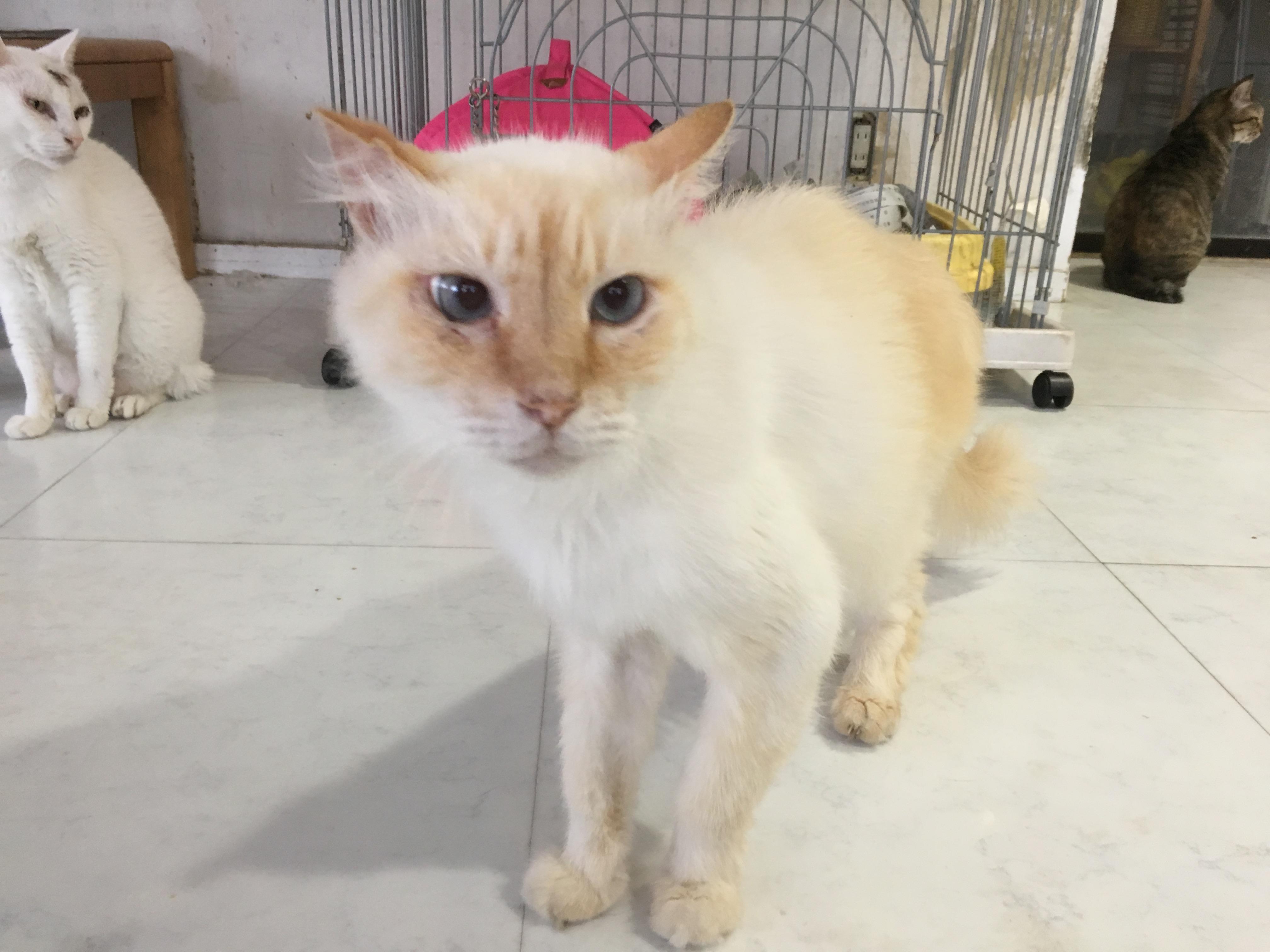 <ul> <li>H1-5</li> <li>猫種:日本猫 クリーム</li> <li>性別:男の子</li> <li>名前:あたろー</li> <li>年齢:11才</li> <li>保護経緯:家族の方の病気療養により飼育困難になりました</li> <li>その他:去勢済み</li> </ul>