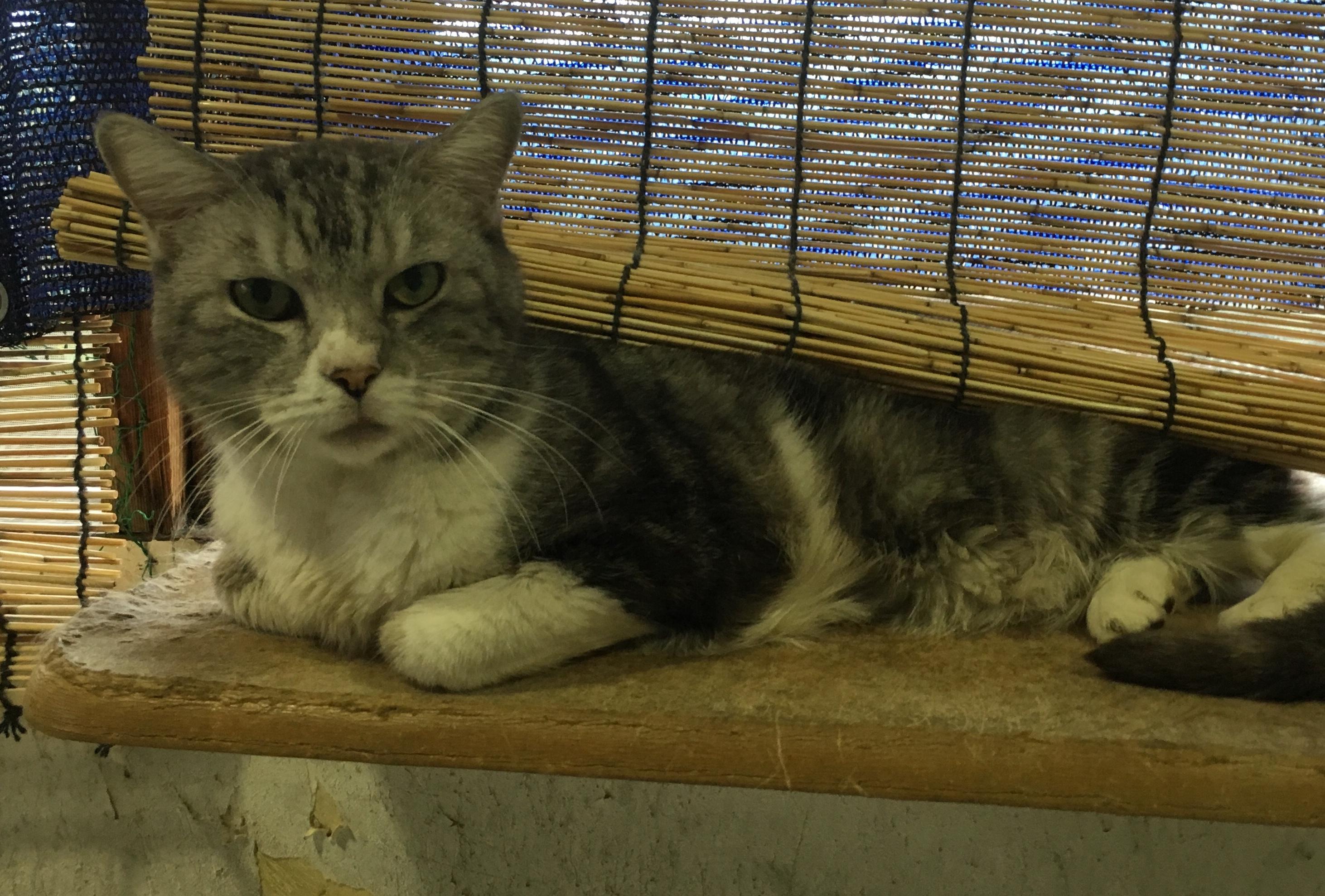 <ul> <li>H6-7</li> <li>猫種:日本猫 アメショー系雑種</li> <li>性別:男の子</li> <li>名前:太郎</li> <li>年齢:13才</li> <li>保護経緯:飼い主様の病気療養のため飼育困難になりました</li> <li>その他:去勢済み・人見知りがかなり激しいです</li> </ul>