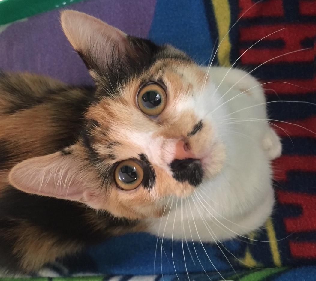 <ul> <li></li> <li>猫種:日本猫 三毛</li> <li>性別:女の子</li> <li>名前:てんてん</li> <li>年齢:推定生後4ヶ月</li> <li>保護経緯:地域猫が産んだため連れてこられました</li> <li>その他:避妊未</li> </ul>