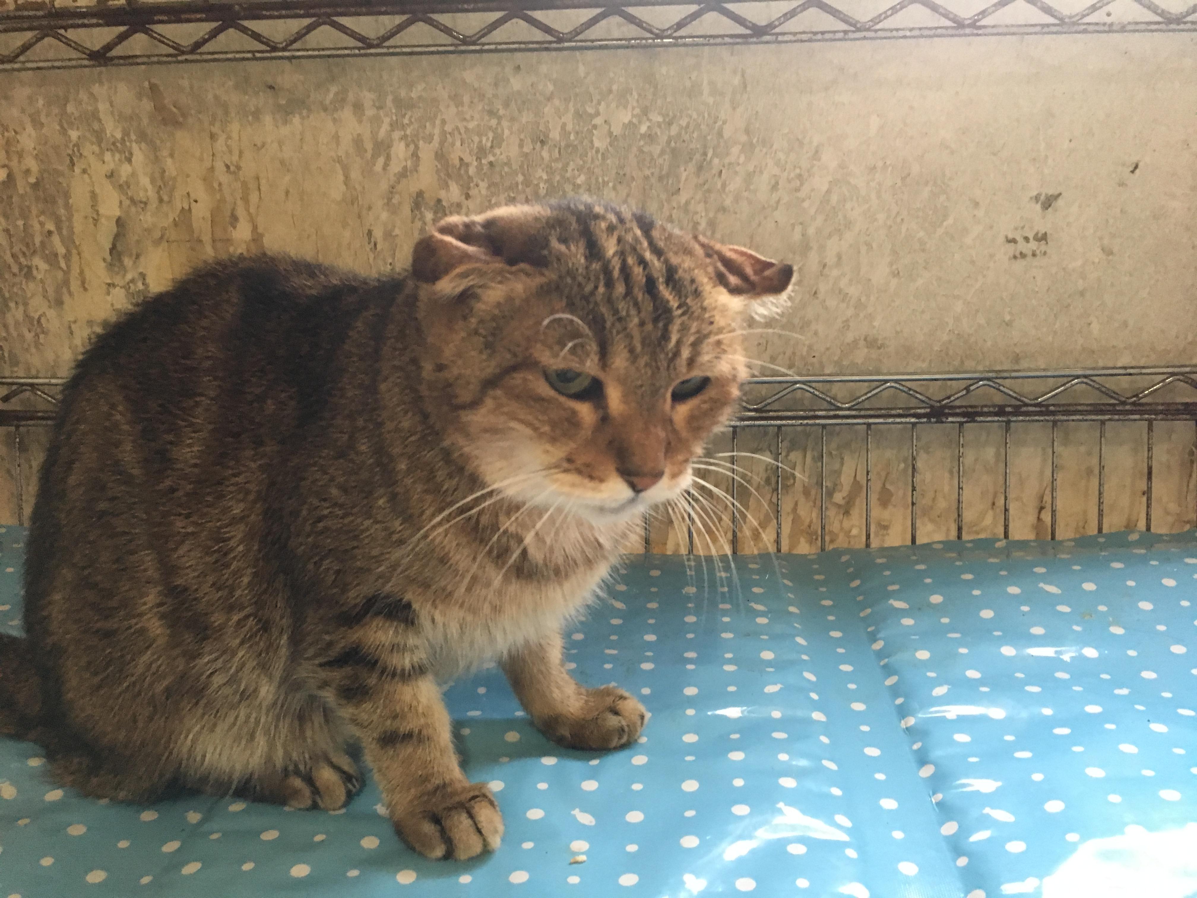 <ul> <li>B7-9</li> <li>猫種:日本猫 キジトラ</li> <li>性別:女の子</li> <li>名前:くり</li> <li>年齢:14才</li> <li>保護経緯:飼い主様の諸事情により飼育困難になりました</li> <li>その他:避妊済み</li> </ul>