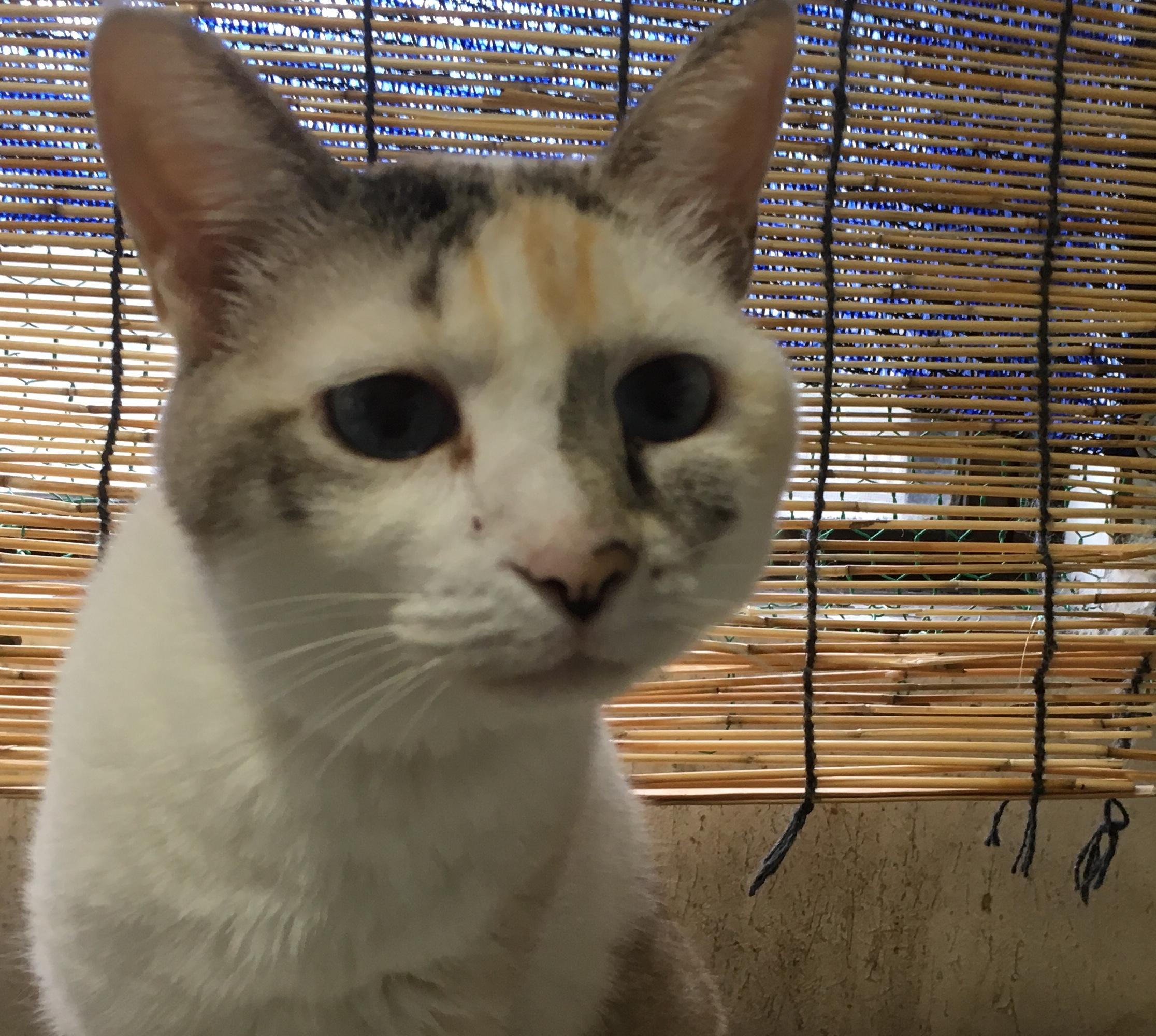 <ul> <li>H8-6</li> <li>猫種:日本猫 うすい三毛</li> <li>性別:女の子</li> <li>名前:にゃん</li> <li>年齢:14才</li> <li>保護経緯:引っ越しのため飼育困難になりました</li> <li>その他:避妊済み</li> </ul>