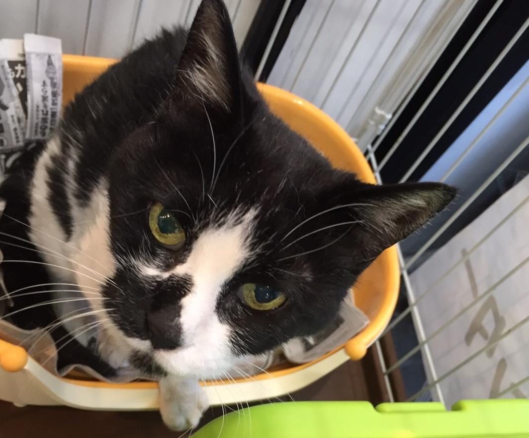 <ul> <li>H10-10</li> <li>猫種:日本猫 白黒</li> <li>性別:不明</li> <li>名前:名前をつけてあげてね</li> <li>年齢:推定5~6歳</li> <li>保護経緯:飼い主様が亡くなられたため飼育困難になりました</li> </ul>