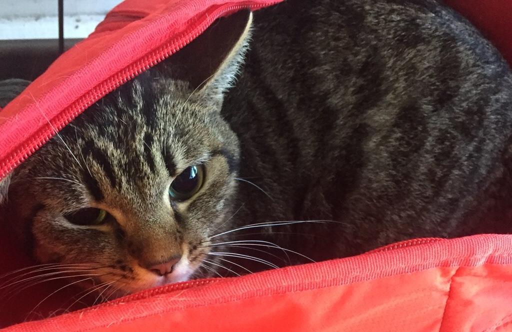 <p>&nbsp;</p> <ul> <li>猫種:日本猫 キジトラ</li> <li>性別:女の子</li> <li>名前:リリー</li> <li>年齢:2.5歳</li> <li>保護経緯:家族の方のアレルギーや病気療養のため飼育困難になりました</li> </ul>