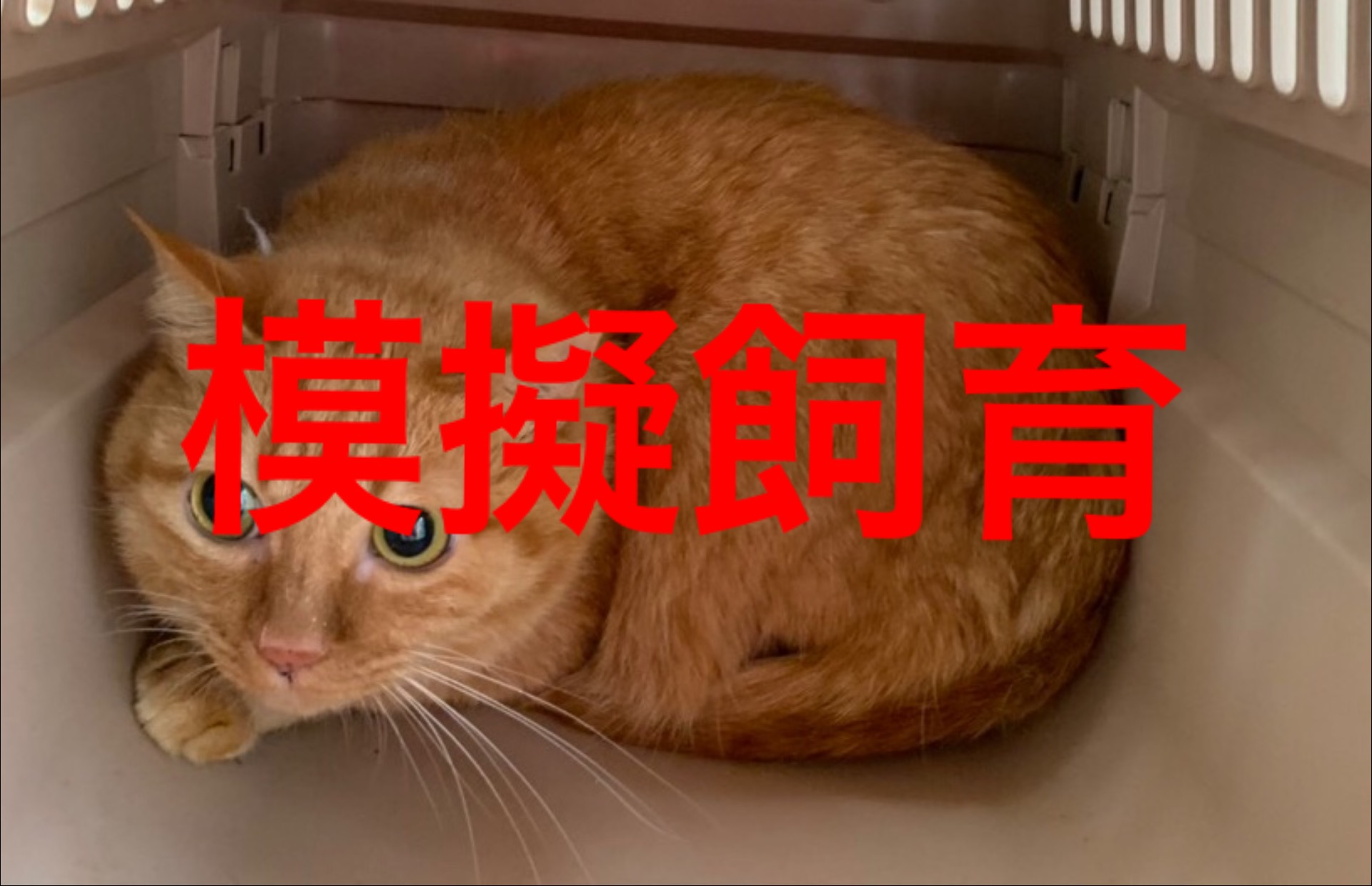 <ul> <li>H11-6</li> <li>猫種:日本猫 茶トラ</li> <li>性別:女の子</li> <li>名前:かずは</li> <li>年齢:5歳</li> <li>保護経緯:飼い主様の諸事情により飼育困難になりました</li> </ul>