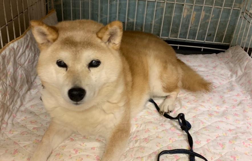 <ul> <li>H11-7</li> <li>犬種:柴犬</li> <li>性別:女の子</li> <li>名前:風花</li> <li>年齢:15歳</li> <li>保護経緯:飼い主様の病気療養のため飼育困難になりました</li> </ul>