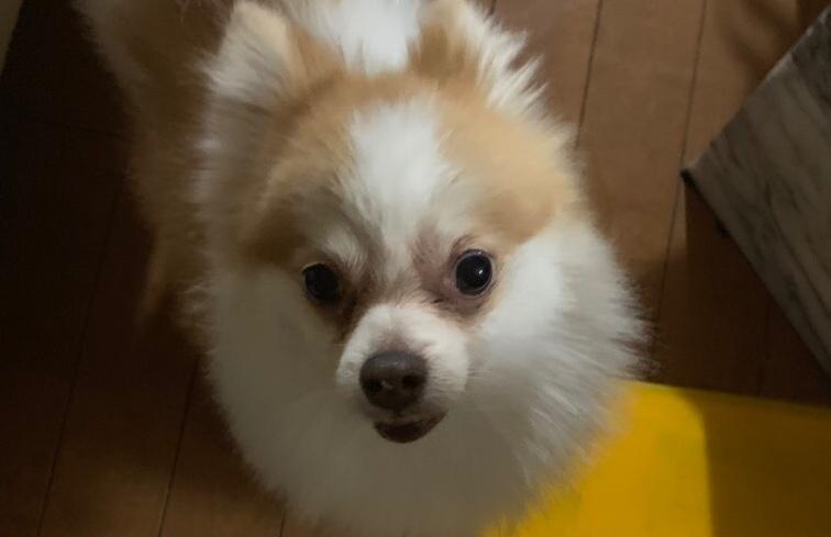 <ul> <li>犬種:ポメラニアン</li> <li>性別:男の子</li> <li>名前:レオ</li> <li>年齢:7歳</li> </ul>
