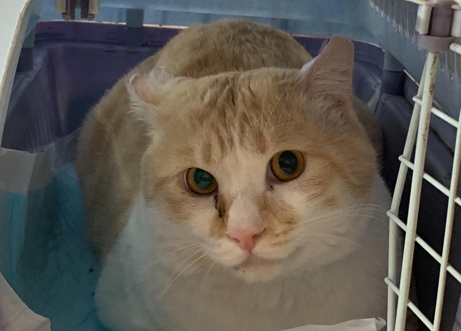 <ul> <li>H12-7</li> <li>猫種:日本猫 茶トラ</li> <li>性別:男の子</li> <li>名前:ゆきち</li> <li>年齢:推定1歳前後</li> <li>保護経緯:先住猫ちゃんとの折り合いが悪いので飼育困難になりました</li> </ul>