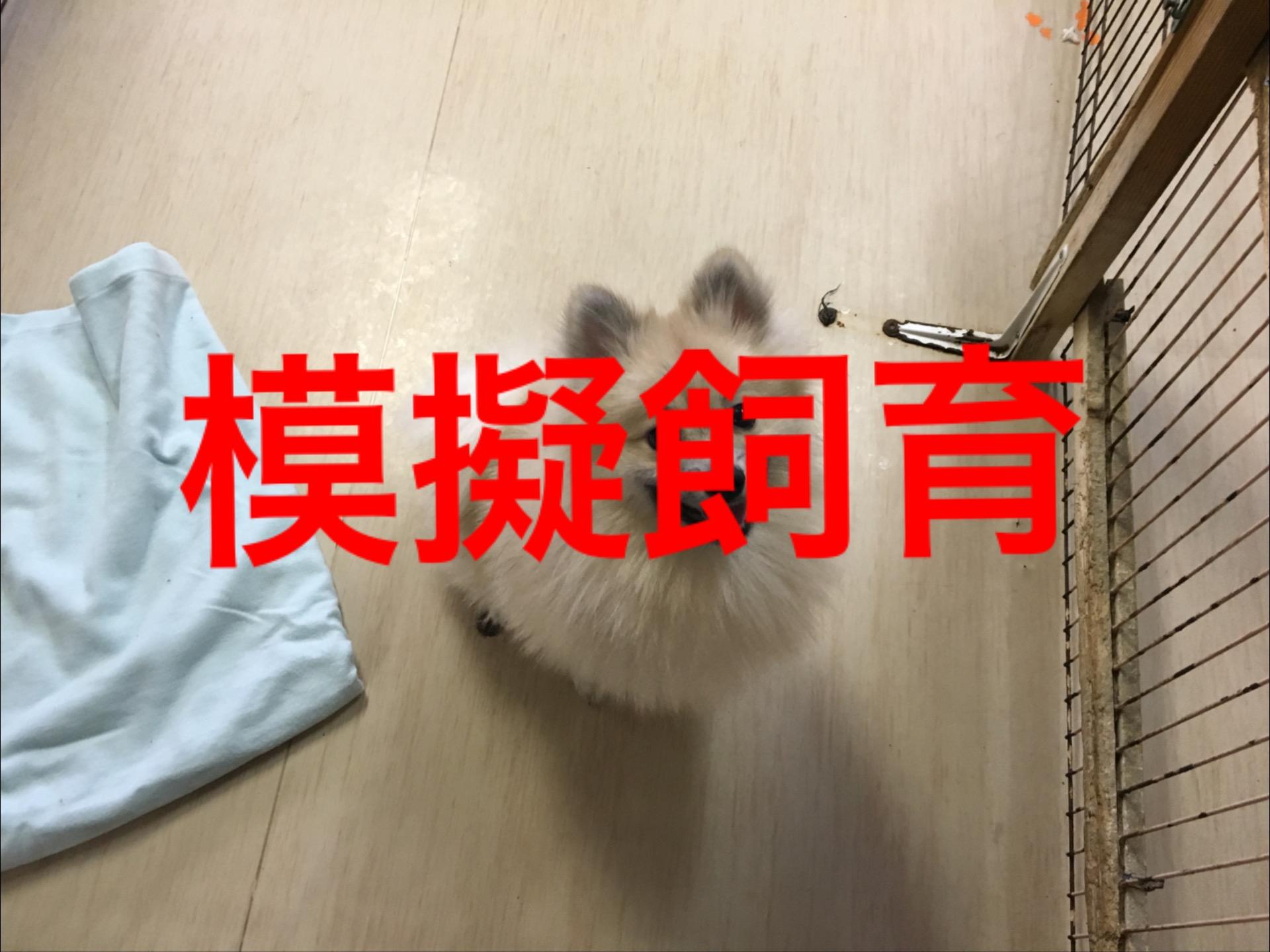 <p>&nbsp;</p> <ul> <li>犬種:ポメラニアン</li> <li>性別:男の子</li> <li>名前:ポポ</li> <li>年齢:H29.11月28日</li> <li>保護経緯:飼い主様が亡くなられたため飼育困難のなりました</li> </ul>