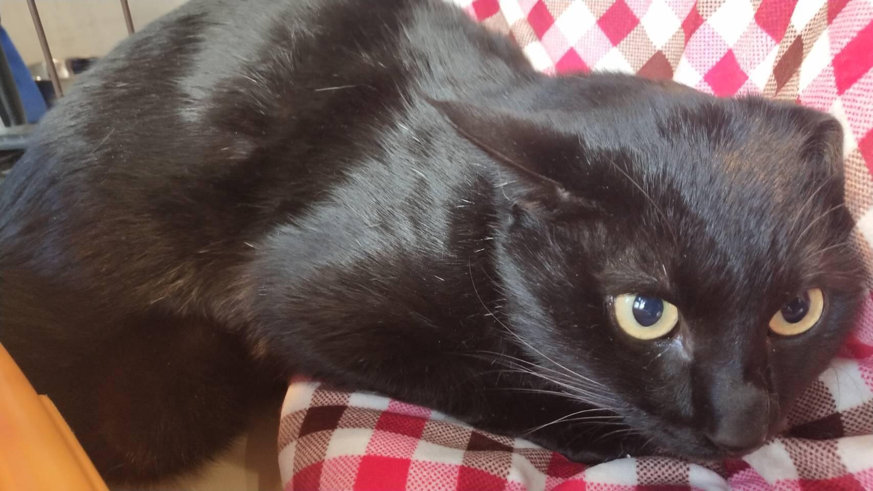 <ul> <li>I1-2</li> <li>猫種:日本猫 黒</li> <li>性別:男の子</li> <li>名前:ラッキー</li> <li>年齢:2~3歳</li> <li>保護経緯:里親さんを探して欲しいとのことで連れてこられました</li> </ul>