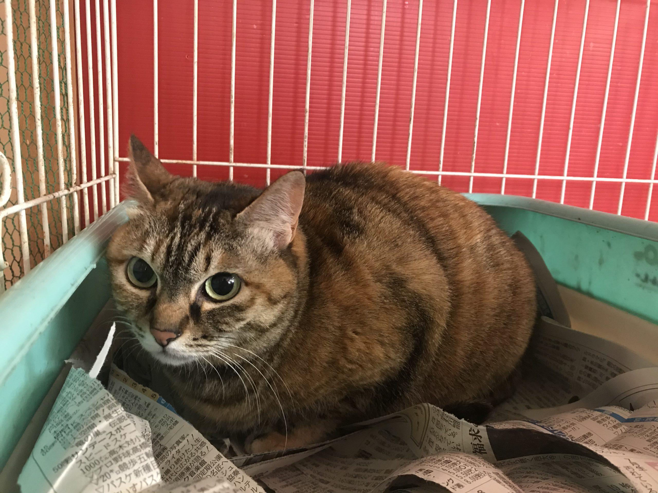 <p></p> <ul> <li>猫種:日本猫 キジトラ</li> <li>性別:女の子</li> <li>名前:ちゃん</li> <li>年齢:2016年12月</li> <li>保護経緯:飼い主様が転勤の為飼育困難になりました</li> </ul>