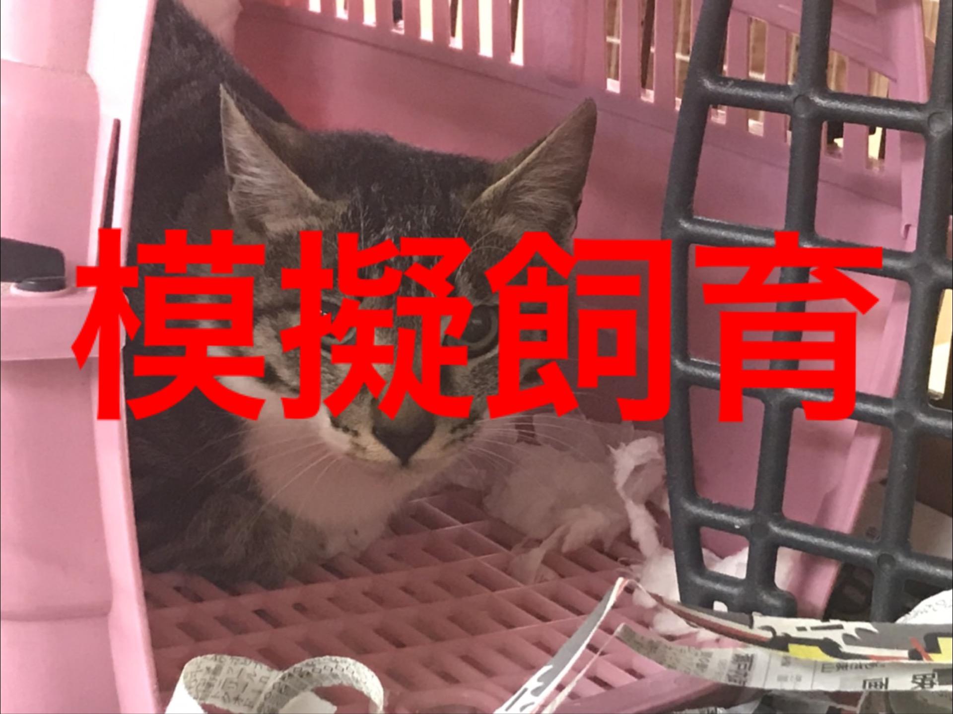 <p>&nbsp;</p> <ul> <li>猫種:日本猫 キジトラ白</li> <li>性別:男の子</li> <li>名前:みーちゃん</li> <li>年齢:H30.9月生まれ</li> <li>保護経緯:飼い主様の諸事情により飼育困難になりました</li> </ul>