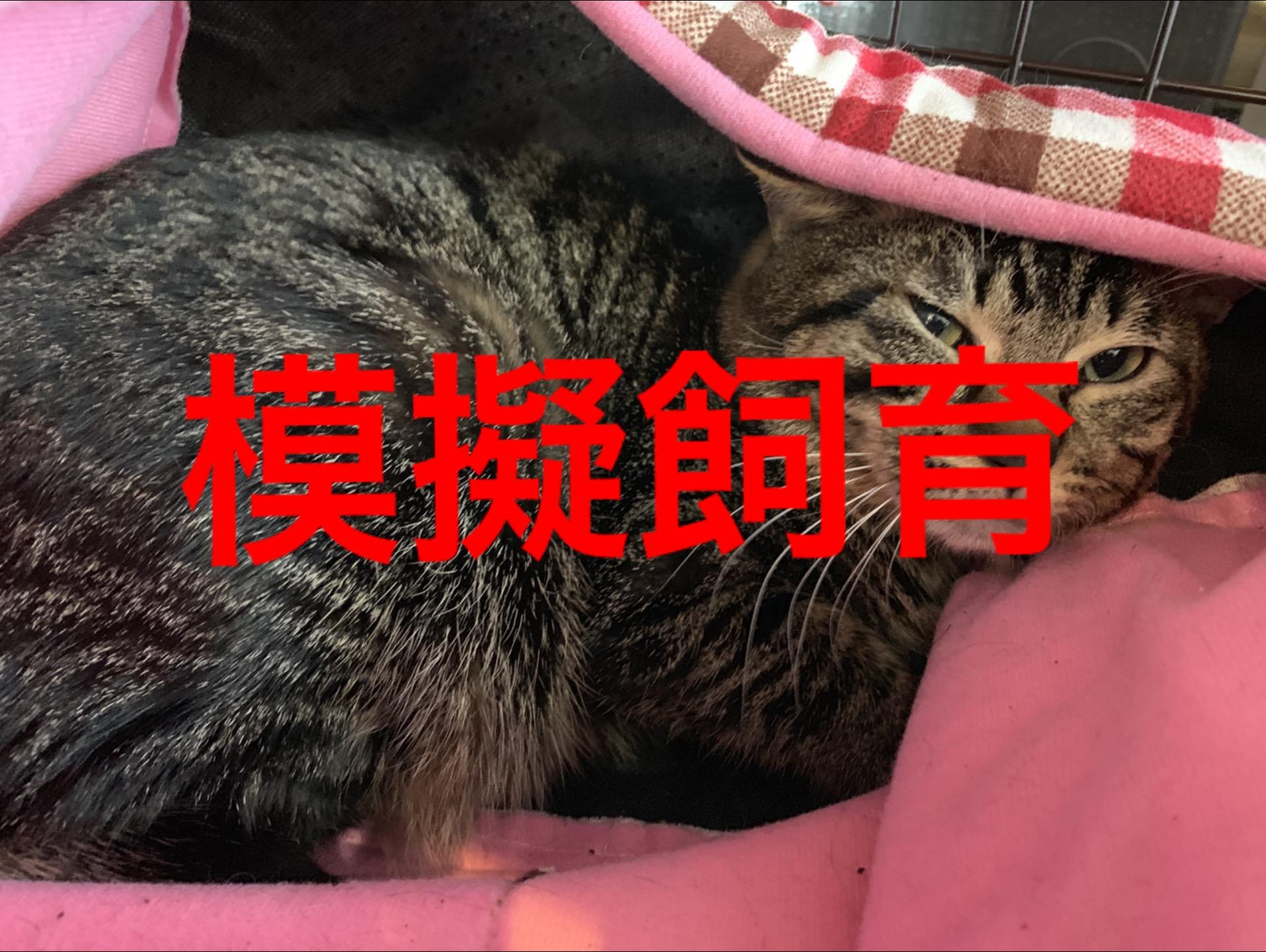 <ul> <li>東2-6</li> <li>猫種:日本猫 キジトラ</li> <li>性別:男の子</li> <li>名前:チビ</li> <li>年齢:2歳</li> <li>保護経緯:急な引っ越しのため飼育困難になりました</li> </ul>