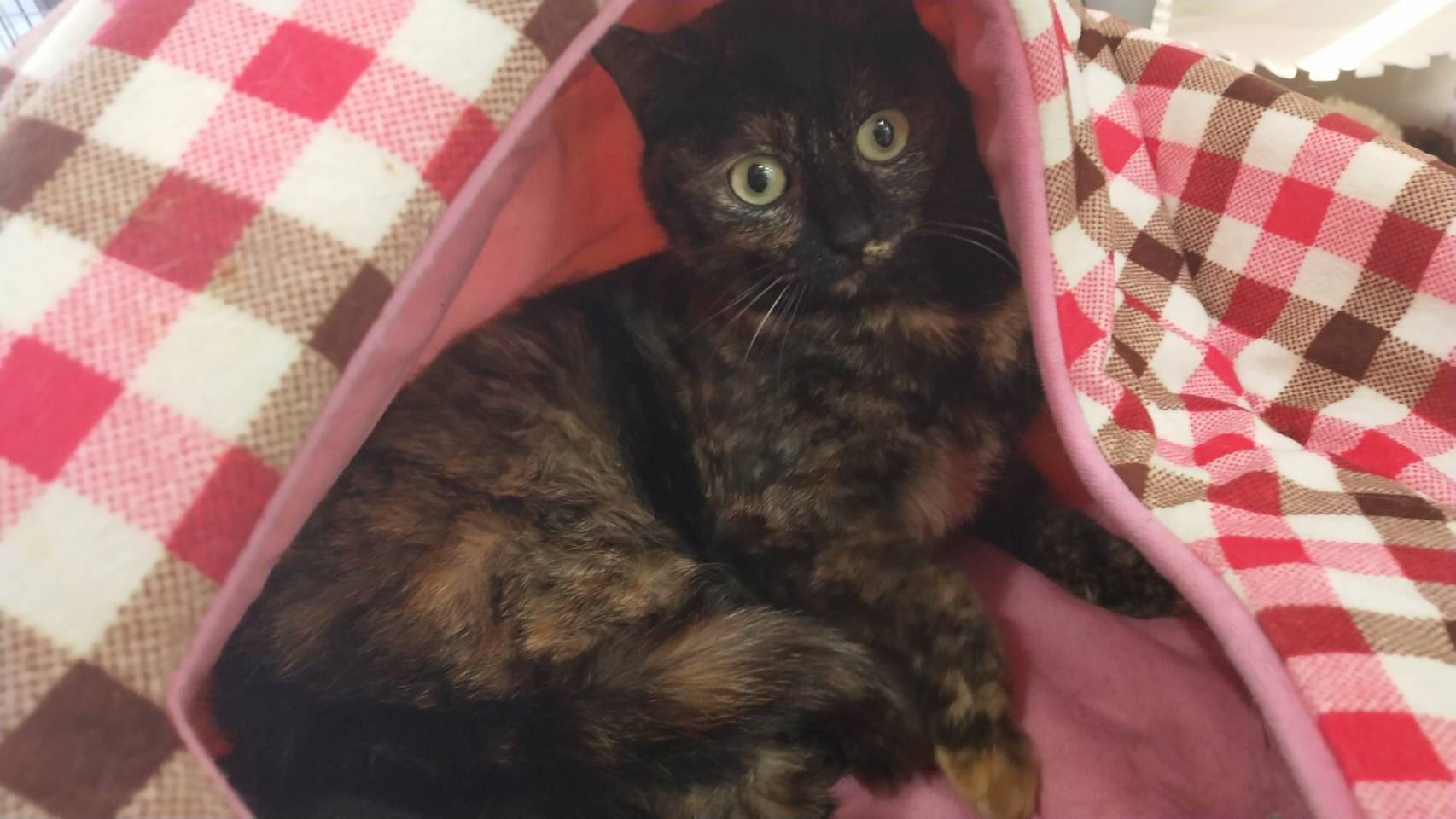 <ul> <li>I1-1</li> <li>猫種:日本猫 サビ猫</li> <li>性別:女の子</li> <li>名前:マゴ</li> <li>年齢:2歳</li> <li>保護経緯:里親さんを探して欲しいとのことで連れてこられました</li> </ul>