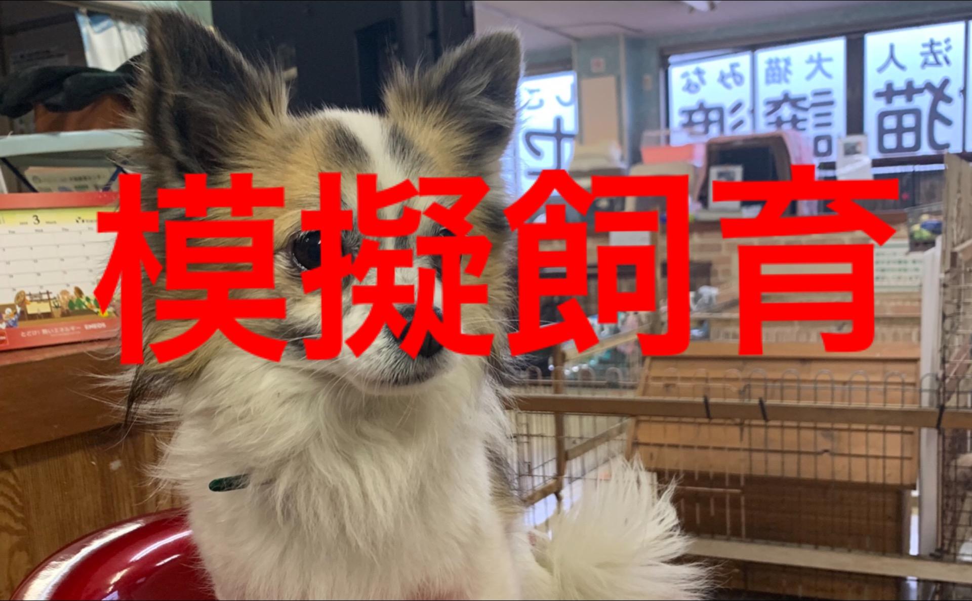 <p>&nbsp;</p> <ul> <li>犬種:ロングコートチワワ</li> <li>性別:男の子</li> <li>名前:コロン</li> <li>年齢:7歳</li> <li>保護経緯:飼い主様の諸事情により飼育困難になりました</li> </ul>
