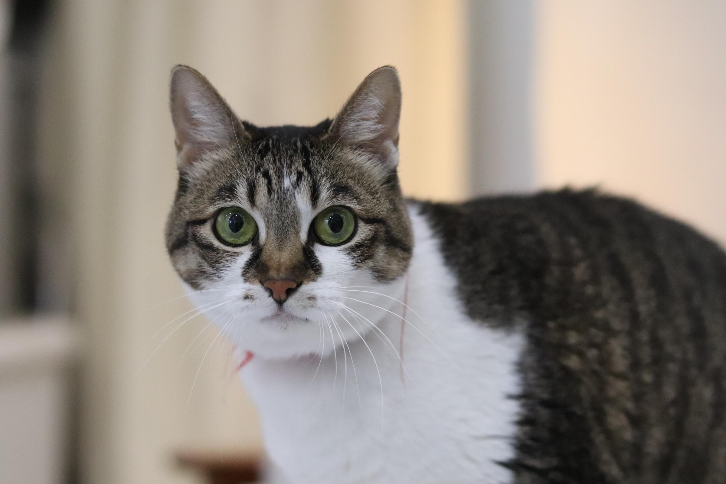<ul> <li>猫種:日本猫 キジトラ白</li> <li>性別:女の子</li> <li>名前:みぃー</li> <li>年齢:12歳</li> <li>保護経緯:飼い主様が亡くなられため飼育困難になりました</li> </ul>