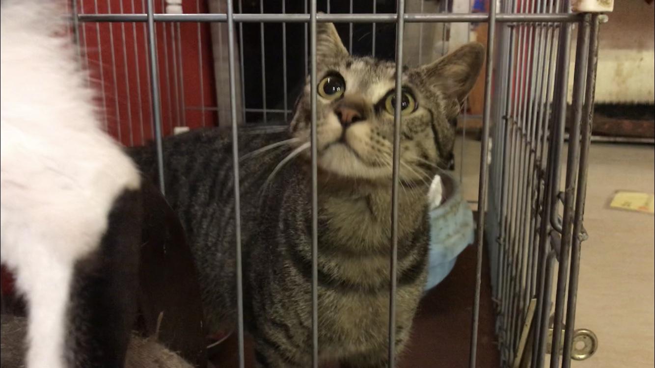 <p></p> <ul> <li>猫種:日本猫 キジトラ</li> <li>性別:男の子</li> <li>年齢:H30年 1月</li> <li>保護経緯:飼い主様の諸事情のため飼育困難になりました</li> </ul>
