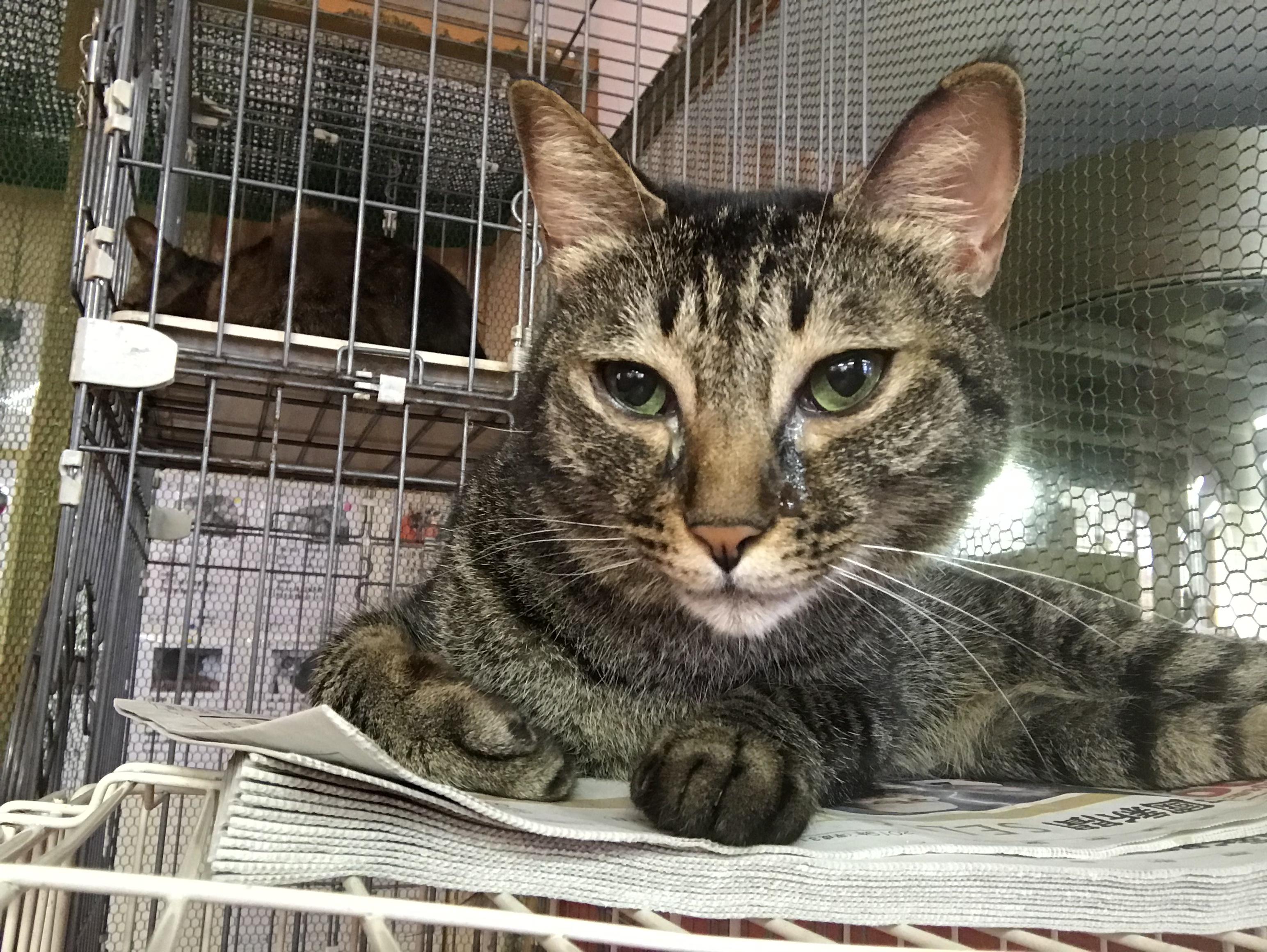 <p></p> <ul> <li>猫種:日本猫 キジトラ</li> <li>性別:男の子</li> <li>名前:コジロウ</li> <li>年齢:H29年 5月25日</li> <li>保護経緯:飼い主様の諸事情のため飼育困難になりました</li> </ul>
