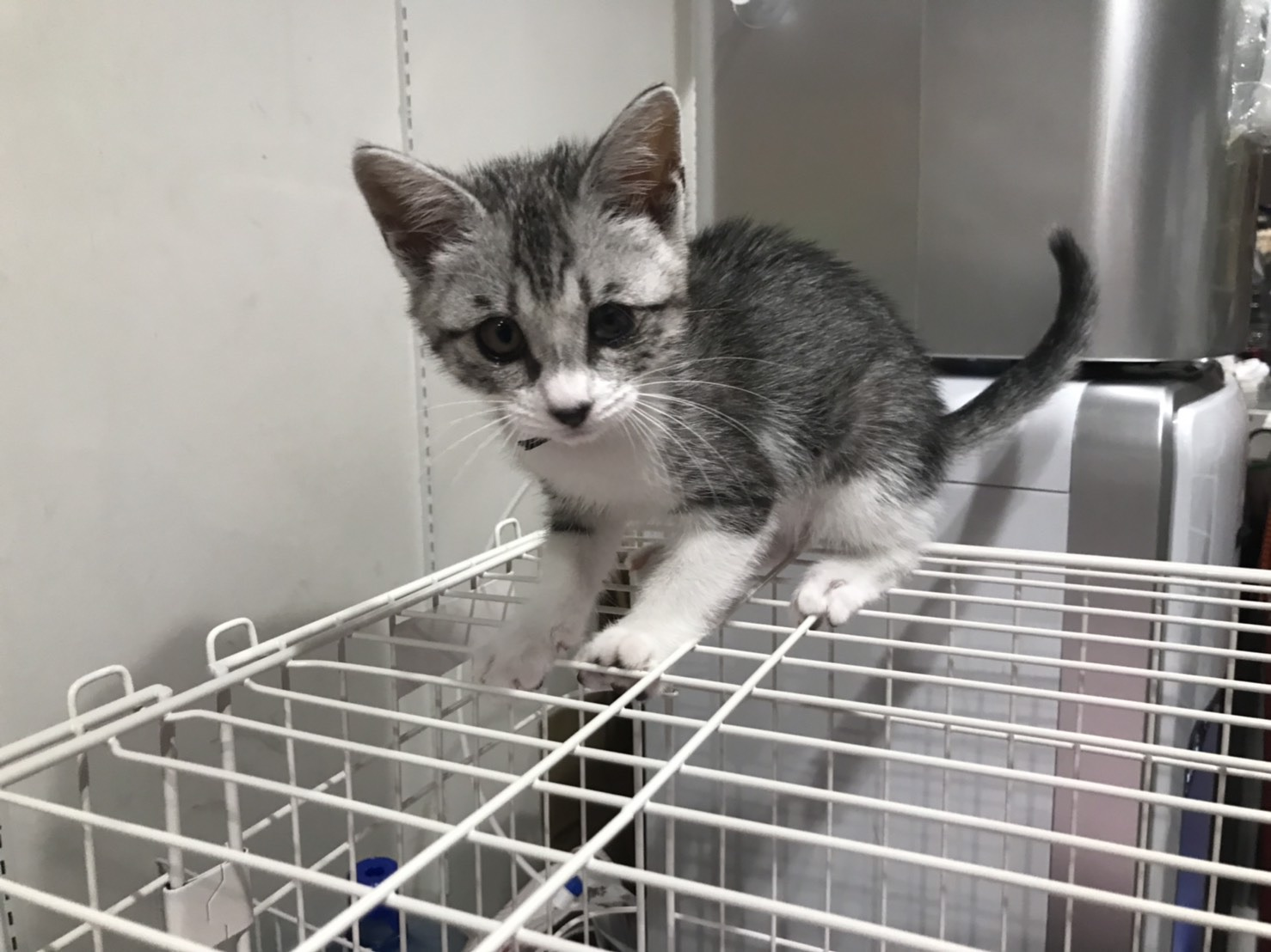 <p></p> <ul> <li>猫種:日本猫 キジトラグレー</li> <li>性別:女の子</li> <li>名前:ミルク</li> <li>年齢:現在2ヶ月半</li> <li>保護経緯:1匹でいたところを保護され連れてこられました</li> </ul>
