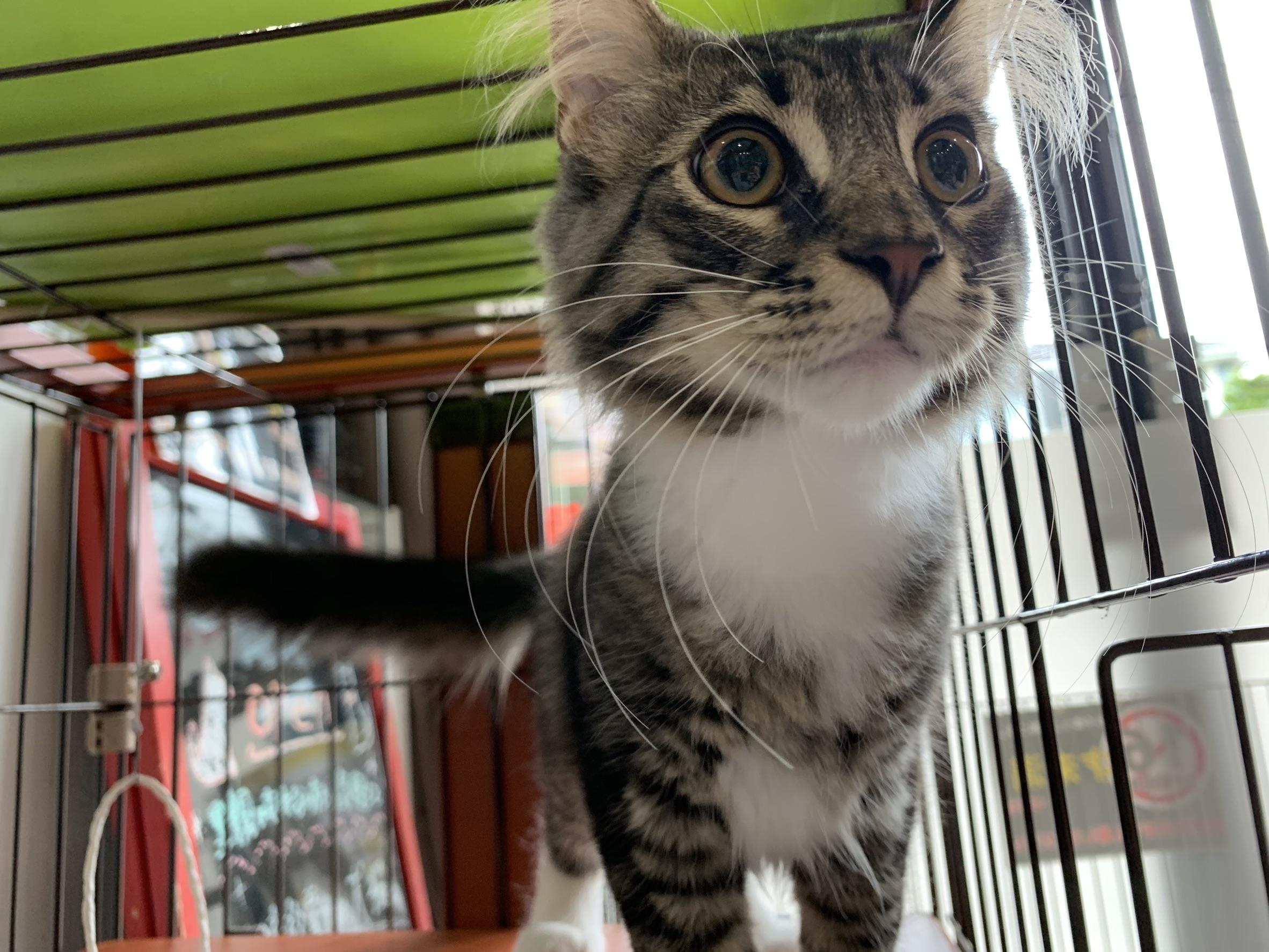 <ul> <li>猫種:ノルウェージャン</li> <li>性別:男の子</li> <li>名前:テト</li> <li>年齢:2019.4.20生まれ</li> <li>保護経緯:飼い主の病気により飼育困難になりました</li> </ul>