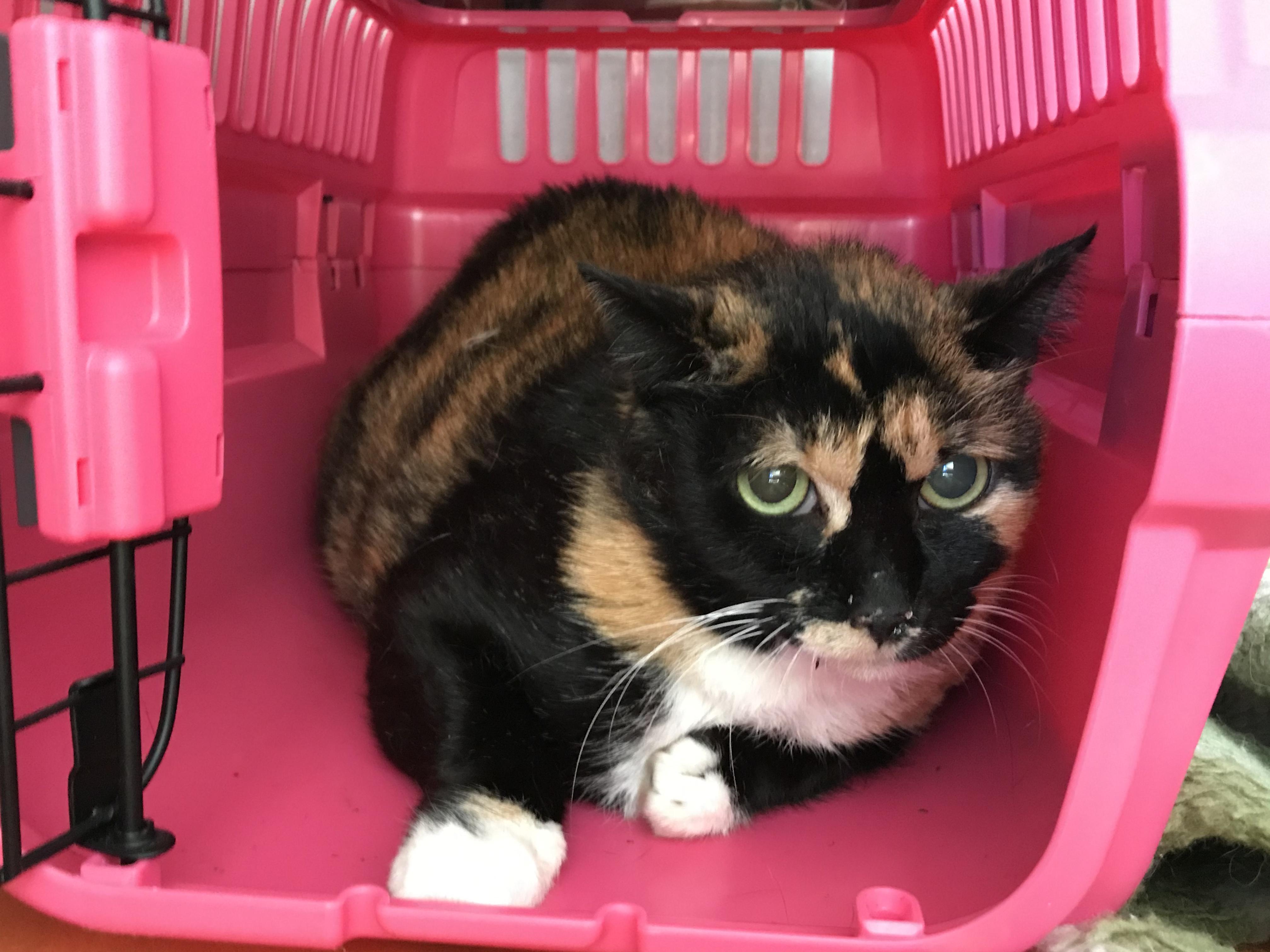 <p></p> <ul> <li>猫種:日本猫 三毛</li> <li>性別:女の子</li> <li>名前:ふじ</li> <li>年齢:2010年4月</li> <li>保護経緯:飼い主様が遠方に引越しのためのため飼育困難になりました</li> </ul>