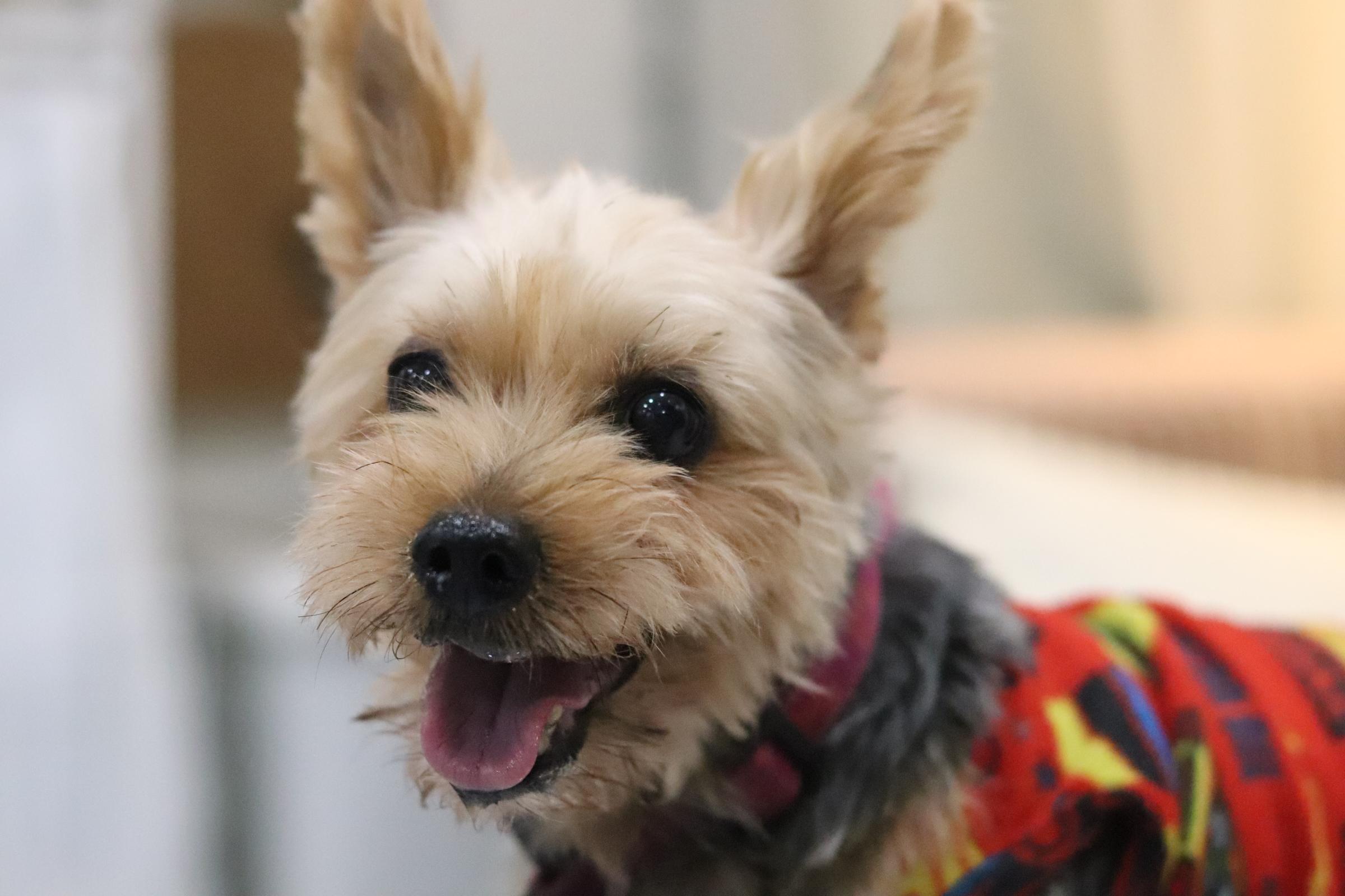 <ul> <li>犬種:ヨークシャテリア</li> <li>性別:女の子</li> <li>名前:マリ</li> <li>年齢:2007年位生まれ</li> <li>保護経緯:飼い主が亡くなられ飼育困難になりました</li> </ul>
