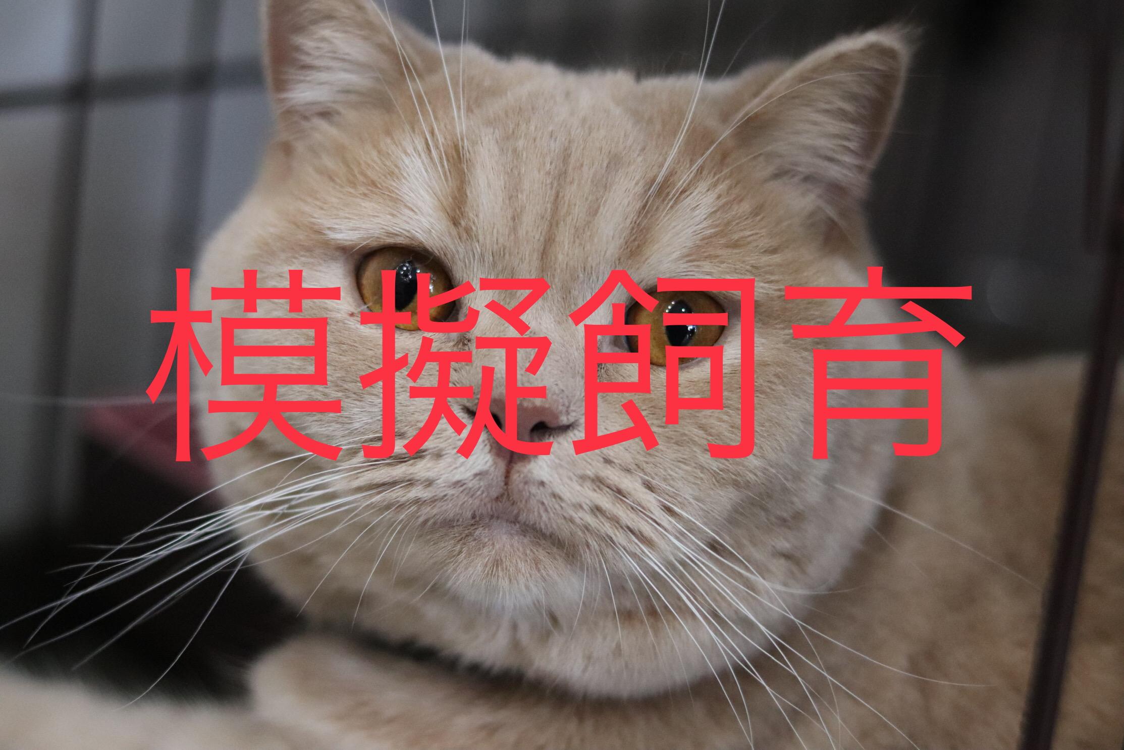 <ul> <li>猫種:ブリティッシュショートヘア</li> <li>性別:男の子</li> <li>名前:カール</li> <li>年齢:2017.4.29生まれ</li> <li>保護経緯:家族がアレルギー発症したため飼育困難になりました</li> </ul>