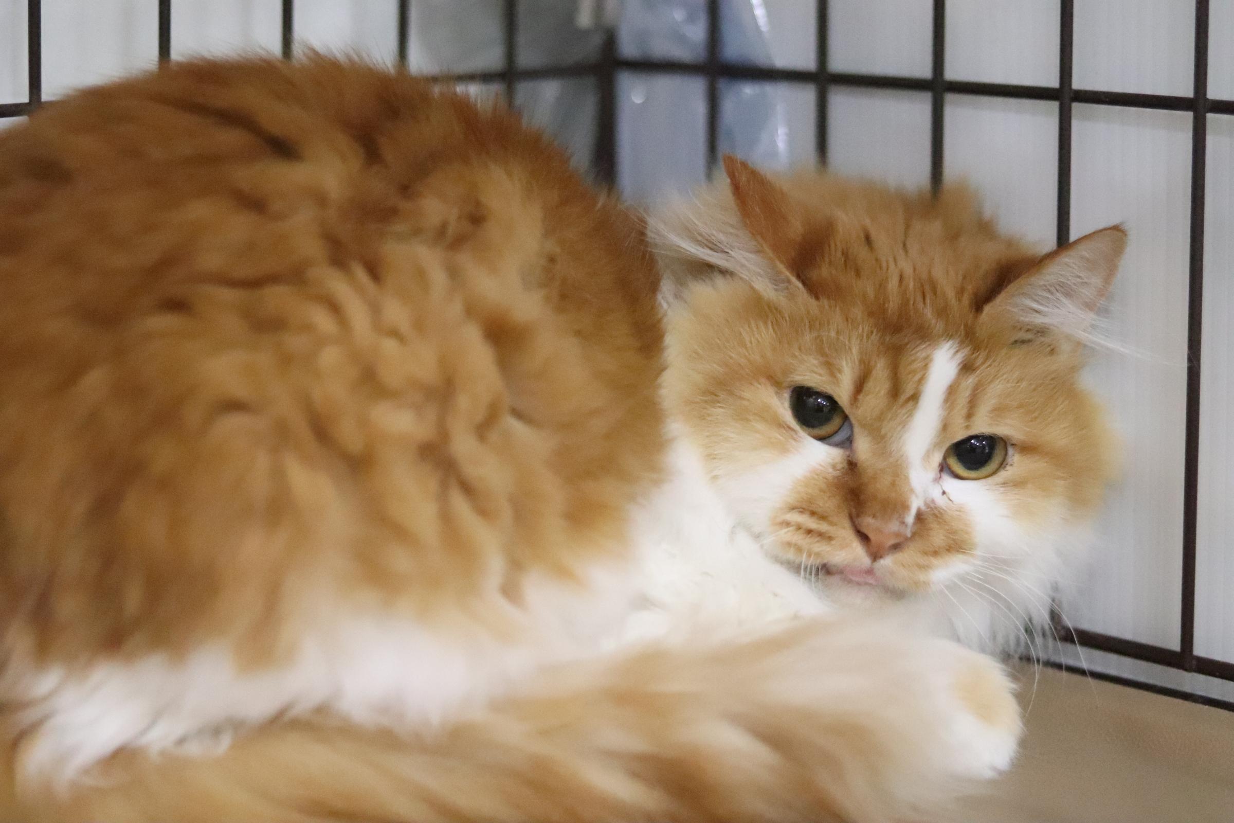<ul> <li>猫種:日本猫</li> <li>性別:男の子</li> <li>名前:ボス</li> <li>年齢:2014〜2015年生まれ</li> <li>保護経緯:飼い主の病気療養のため飼育困難</li> </ul>