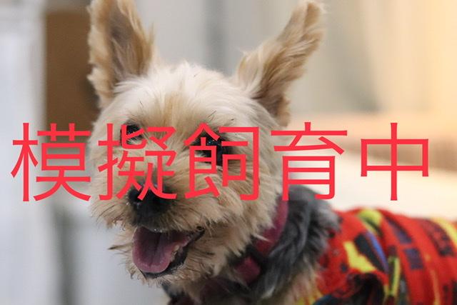<ul> <li>犬種:ヨークシャテリア</li> <li>性別:女の子</li> <li>名前:マリ</li> <li>年齢:12歳前後</li> <li>保護経緯:飼い主が亡くなられたため飼育困難になりました</li> </ul>