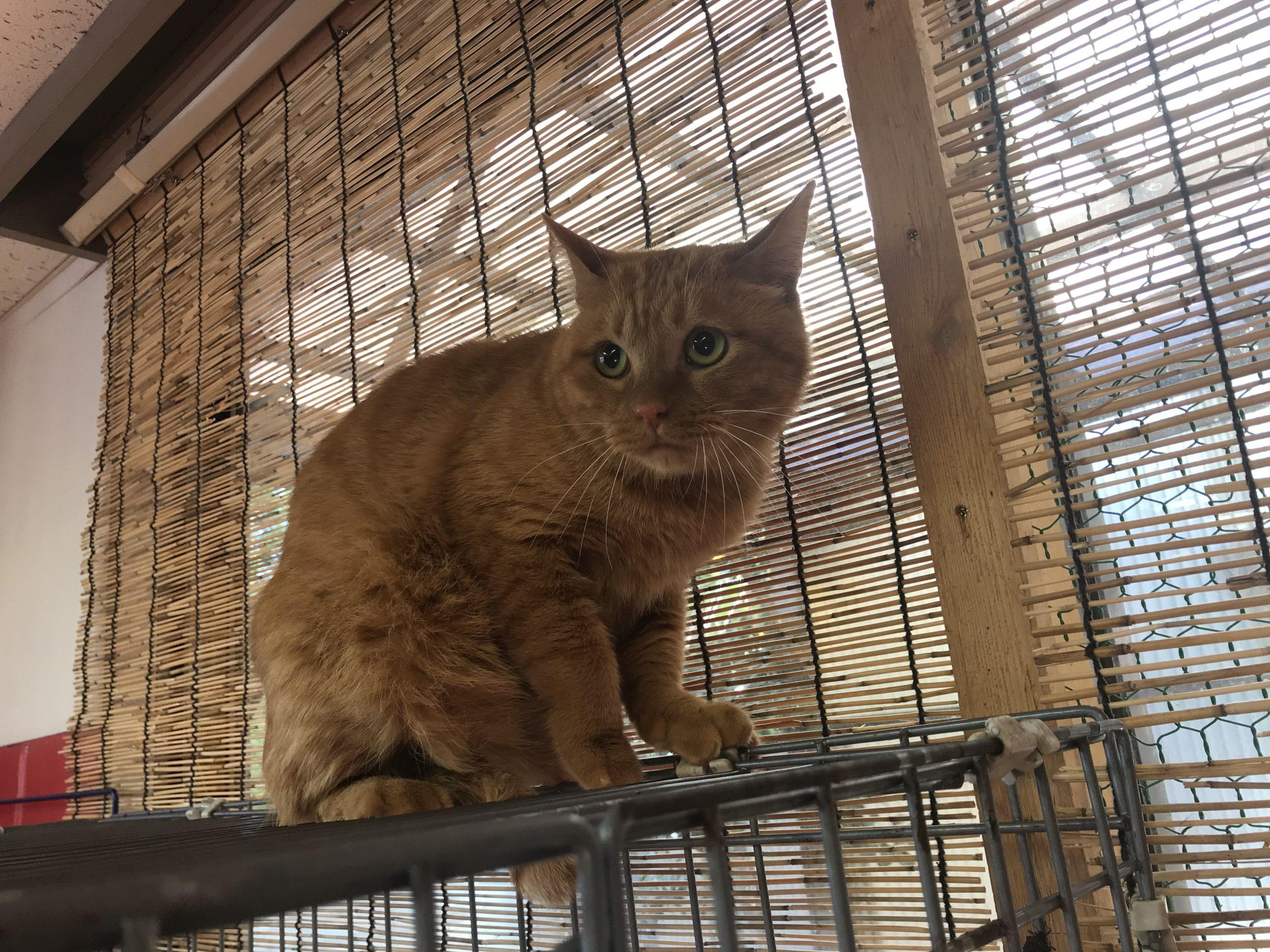 <p></p> <ul> <li>猫種:日本猫 茶トラ</li> <li>性別:男の子</li> <li>名前:フク</li> <li>年齢:3~4歳くらい</li> <li>保護経緯:飼い主様が介護施設に入居のため飼育困難になりました</li> </ul>
