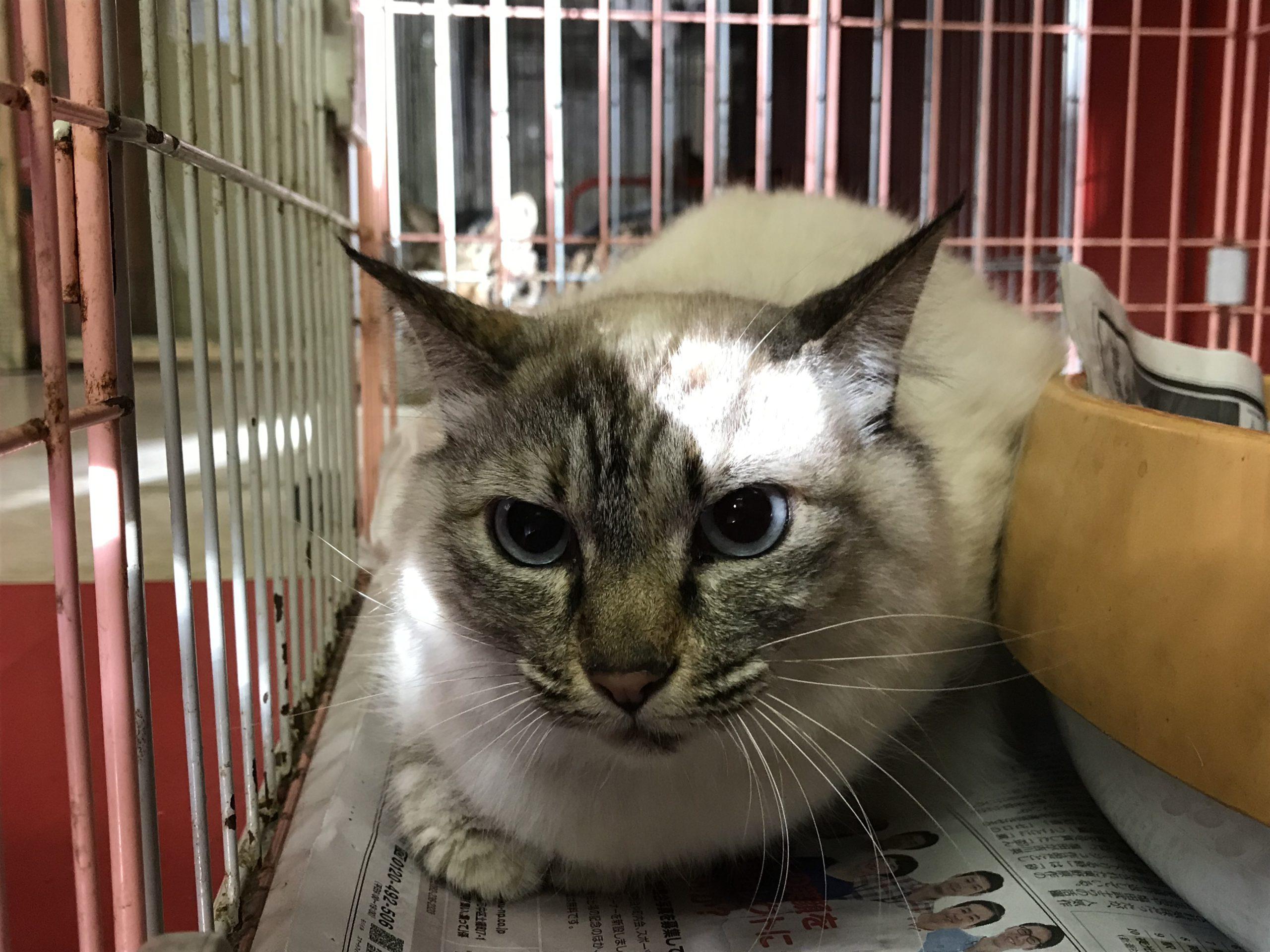 <p></p> <ul> <li>猫種:日本猫 クリーム</li> <li>性別:女の子</li> <li>名前:シー</li> <li>年齢:6歳</li> <li>保護経緯:飼い主様が亡くなられたため飼育困難になった</li> </ul>