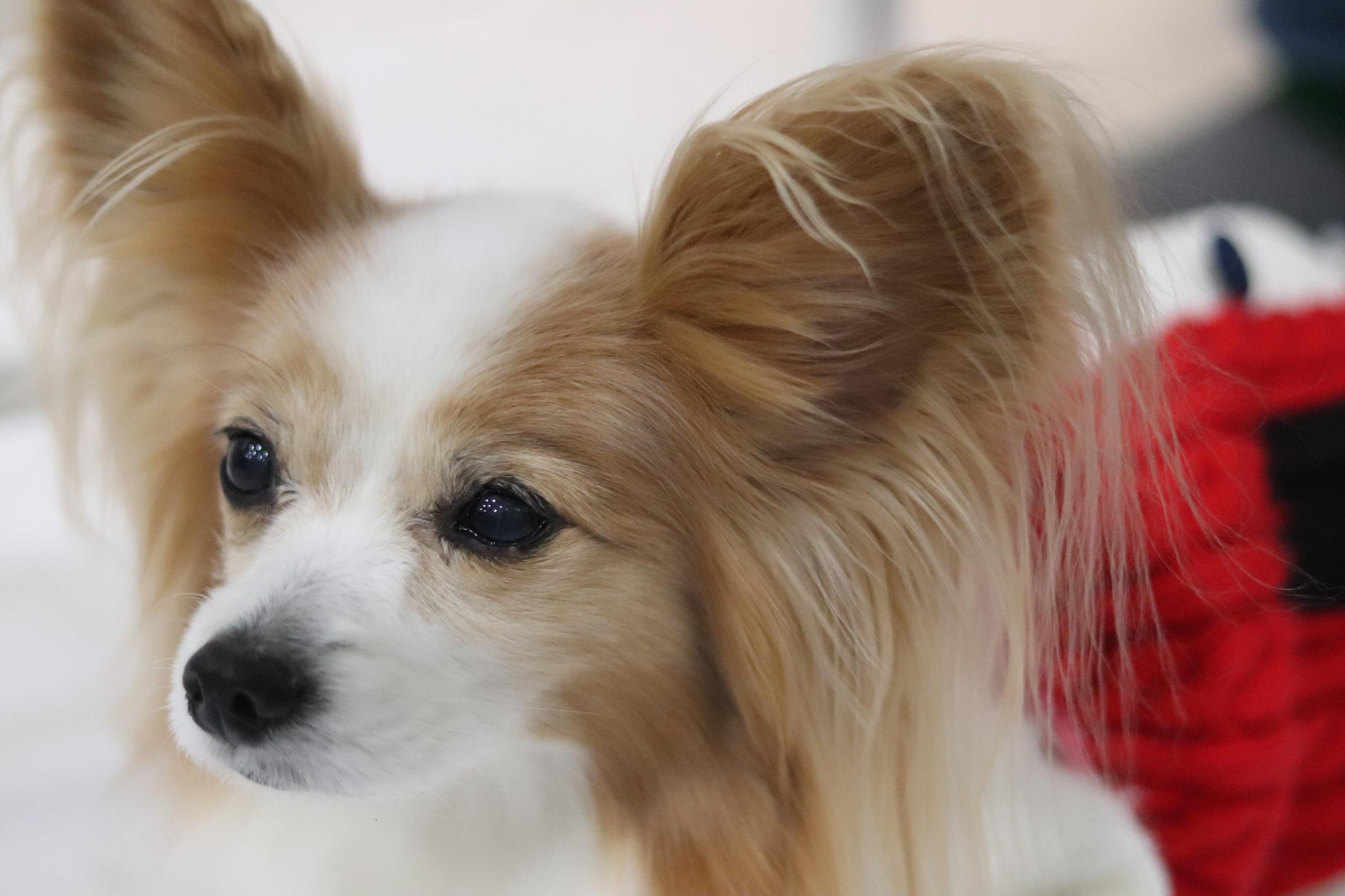 <ul> <li>犬種:パピヨン</li> <li>性別:女の子</li> <li>名前:ペコ</li> <li>年齢:2006.4生まれ</li> <li>保護経緯:飼い主の病気療養のため飼育困難になりました</li> </ul>