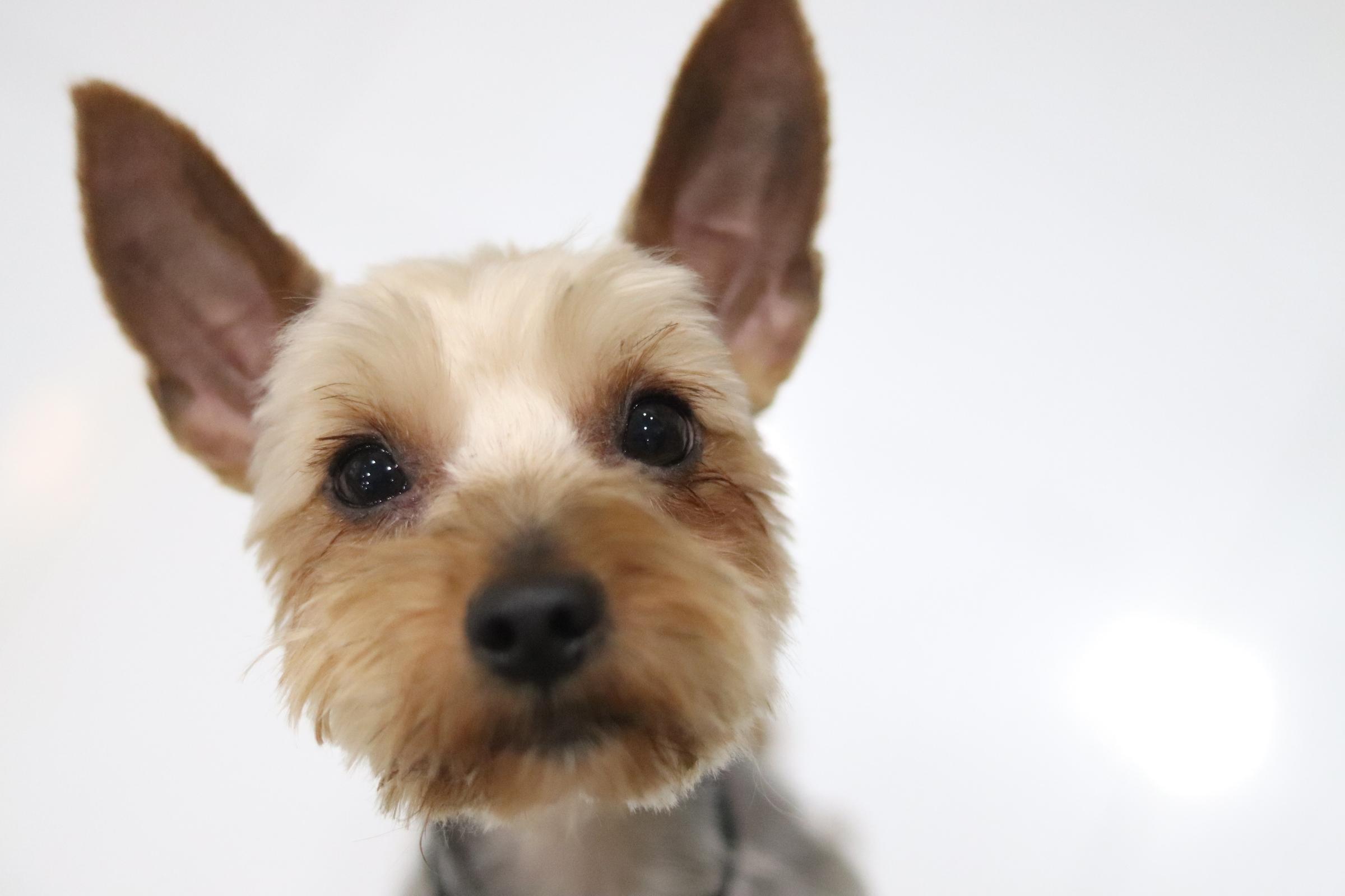 <ul> <li>犬種:ヨークシャテリア</li> <li>性別:男の子</li> <li>名前:レオン</li> <li>年齢:2014.9.4生まれ</li> <li>保護経緯:飼い主様の諸事情により飼育困難になりました</li> </ul>