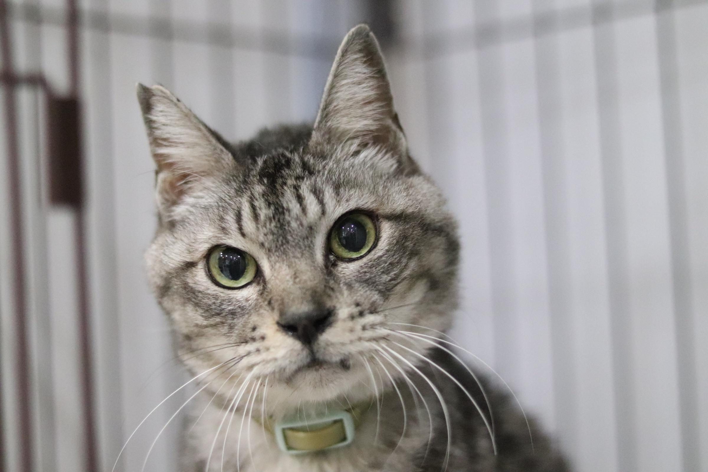 <ul> <li>猫種:日本猫</li> <li>性別:男の子</li> <li>名前:グレー</li> <li>年齢:2005〜2006年生まれ</li> <li>保護経緯:飼い主の病気療養のため飼育困難</li> </ul>