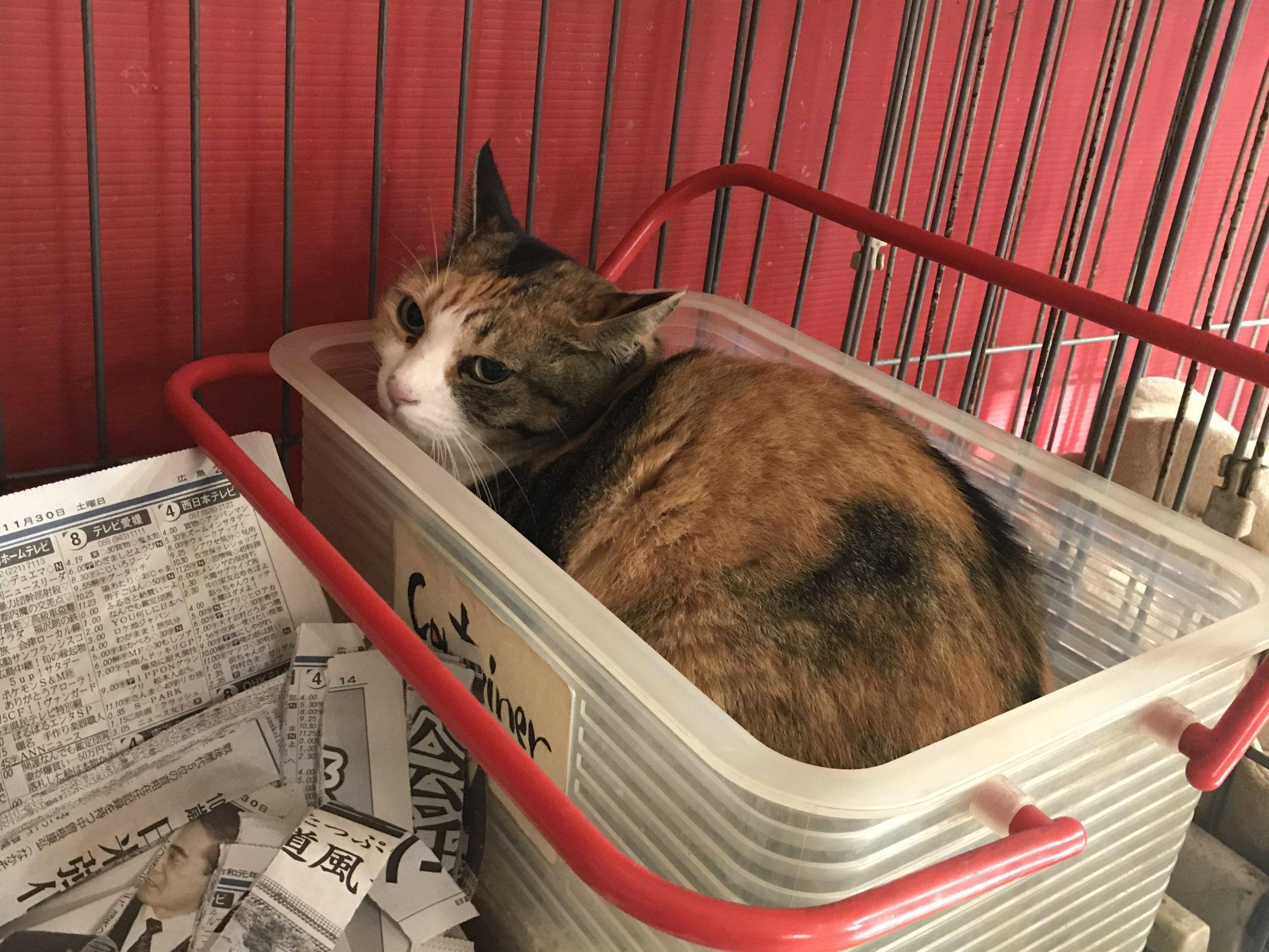 <p></p> <ul> <li>猫種:日本猫 三毛</li> <li>性別:女の子</li> <li>名前:ミケ</li> <li>年齢:6歳</li> <li>保護経緯:飼い主様が亡くなられたため飼育困難になった</li> </ul>