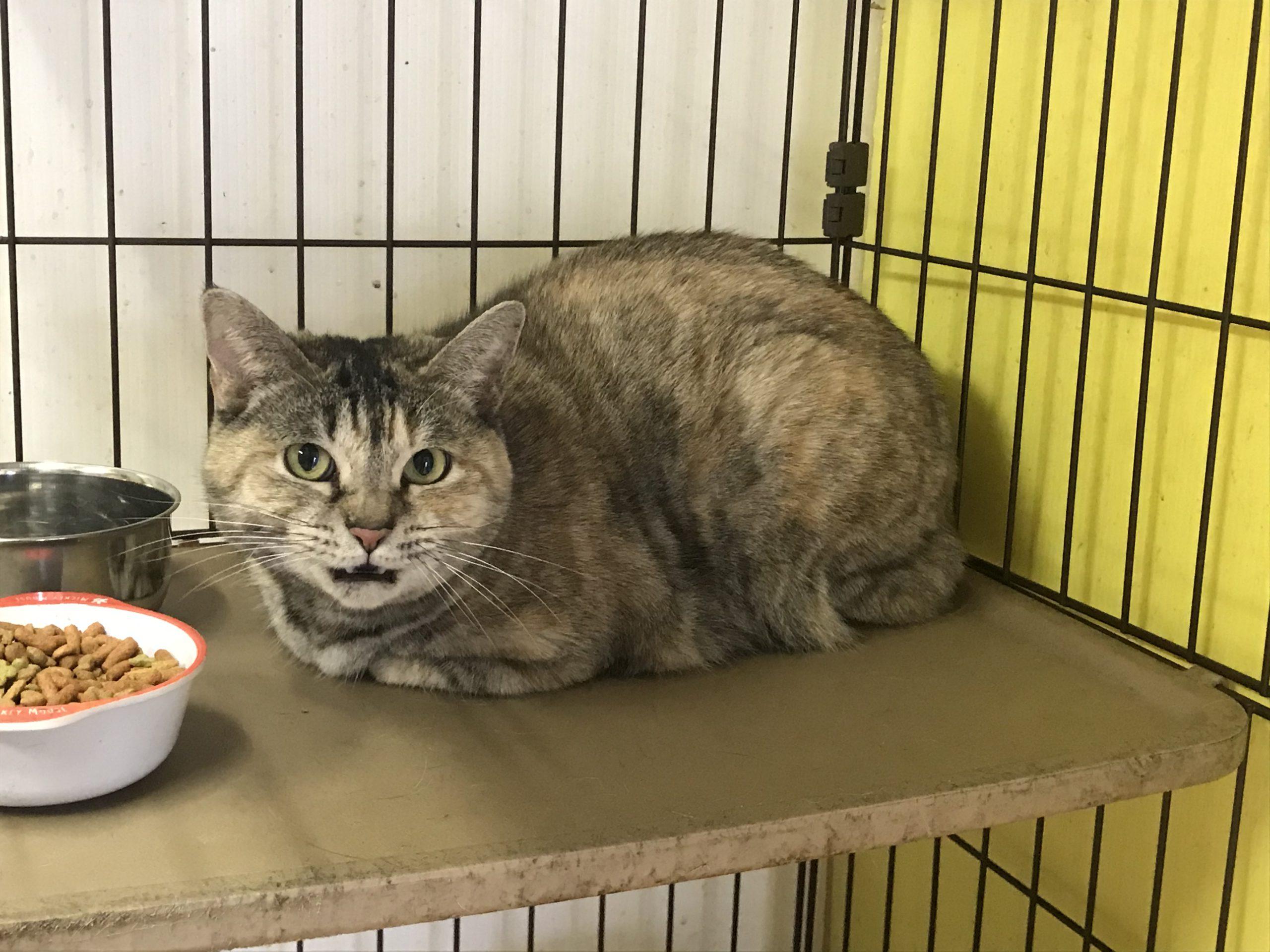 <p></p> <ul> <li>猫種:日本猫 サビ</li> <li>性別:女の子</li> <li>名前:はまち</li> <li>年齢:2013年3月</li> <li>保護経緯:家族の方がアレルギーで、引越しする飼育困難になりました</li> </ul>