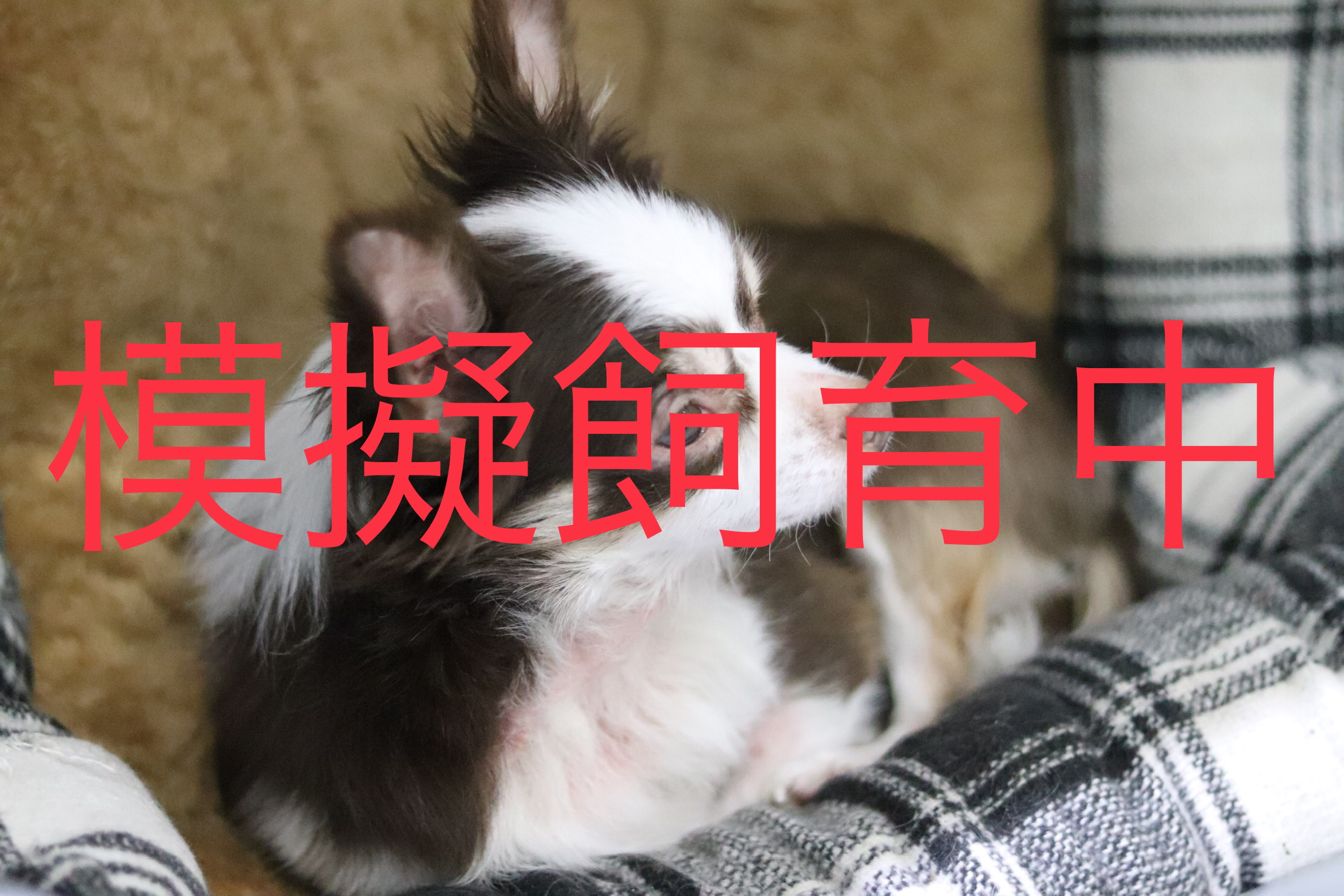 <ul> <li>犬種:ロングコートチワワ</li> <li>性別:女の子</li> <li>名前:ハナ</li> <li>年齢:2015.5.15</li> <li>保護経緯:家族の病気療養のため飼育困難</li> </ul>