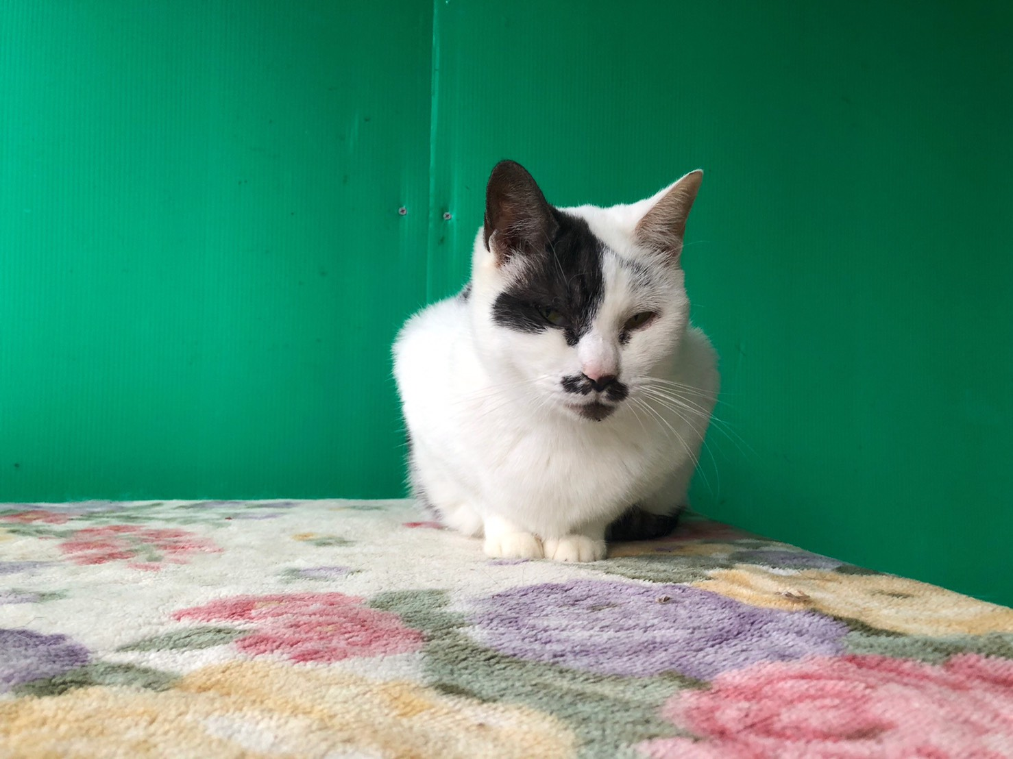 <ul> <li>猫種:日本猫 白黒</li> <li>性別:女の子</li> <li>名前:ひげ子</li> <li>年齢:2015年春頃</li> <li>保護経緯:飼い主様の諸事情のため飼育困難になり引き取りました</li> </ul>