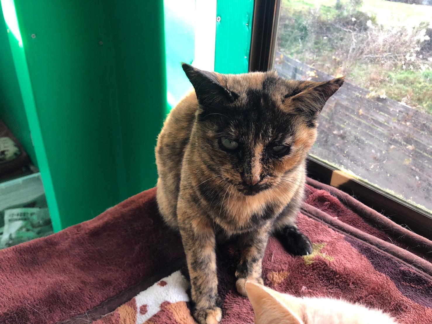 <ul> <li>猫種:日本猫 サビ</li> <li>性別:女の子</li> <li>名前:サクラ</li> <li>年齢:2016年1月</li> <li>保護経緯:飼い主様が引越しのため飼育困難になり引き取りました</li> </ul>