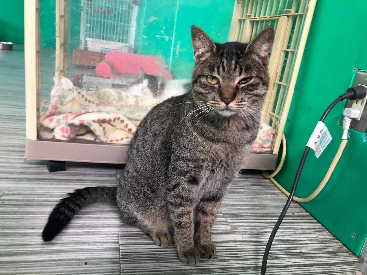 <ul> <li>猫種:日本猫 キジトラ</li> <li>性別:女の子</li> <li>名前:もも</li> <li>年齢:2019年1月</li> <li>保護経緯:飼い主様の諸事情のため飼育困難になり引き取りました</li> </ul>