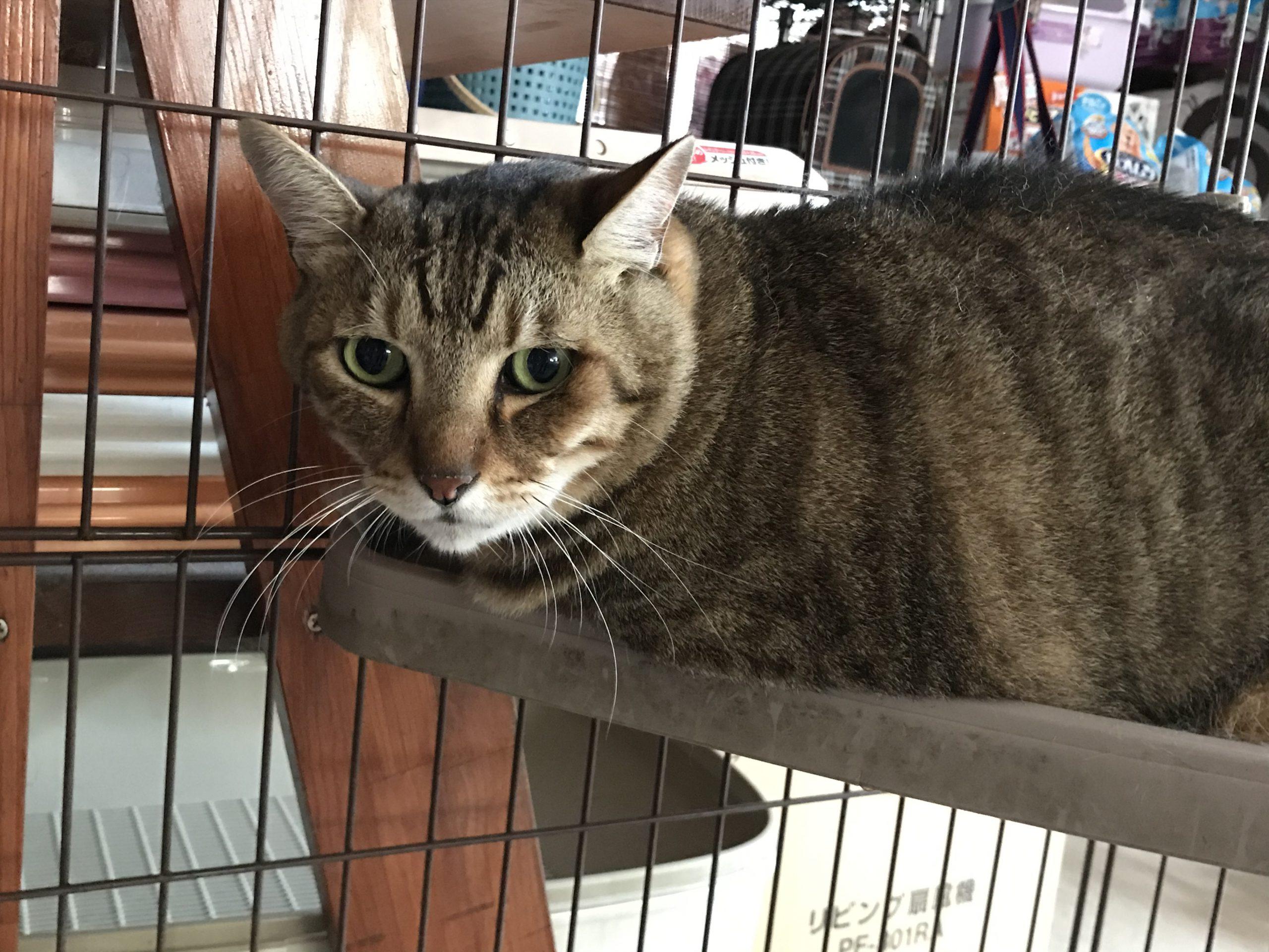 <p></p> <ul> <li>猫種:日本猫  キジトラ</li> <li>性別:男の子</li> <li>名前:凛太郎</li> <li>年齢:2012年3月</li> <li>保護経緯:家族の方がアレルギーのため飼育困難になりました</li> </ul>