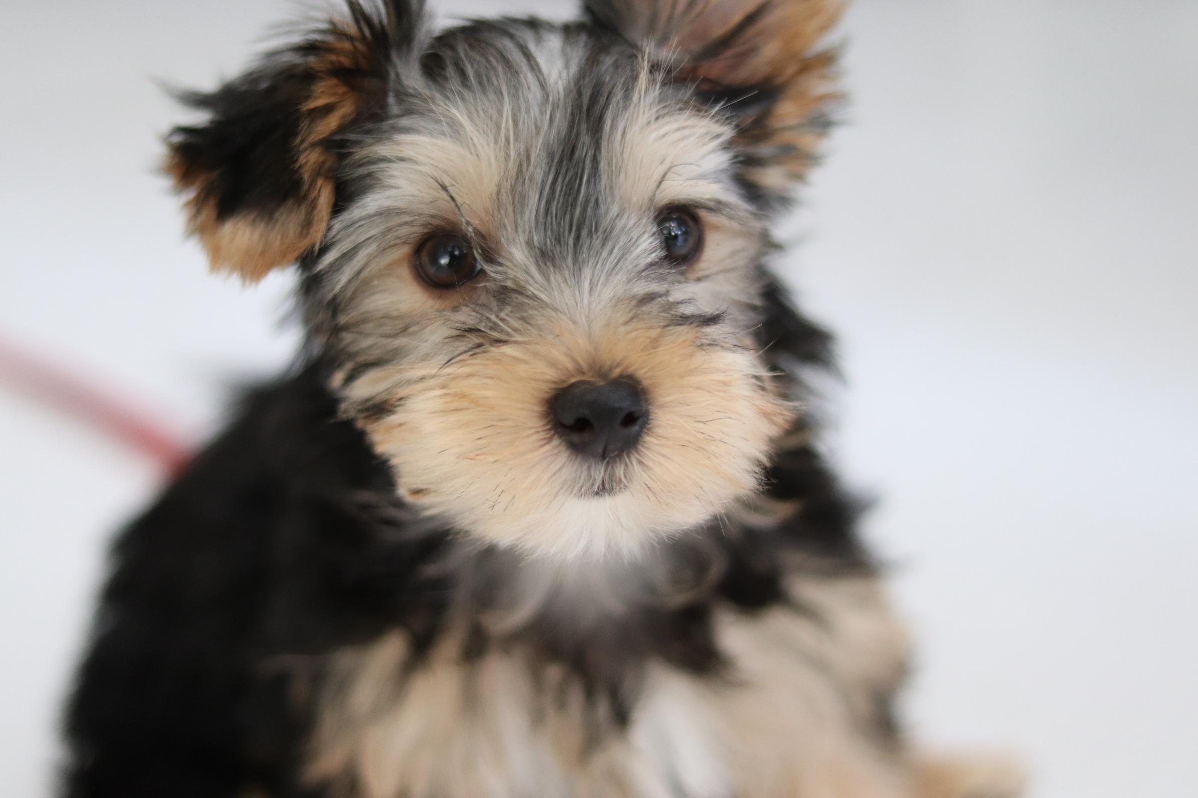 <ul> <li>犬種:ヨークシャテリア</li> <li>性別:女の子</li> <li>名前:モネ</li> <li>年齢:2019年12月25日生まれ</li> <li>保護経緯:子犬の世話が想像以上に大変だったため飼育困難になりました</li> </ul>
