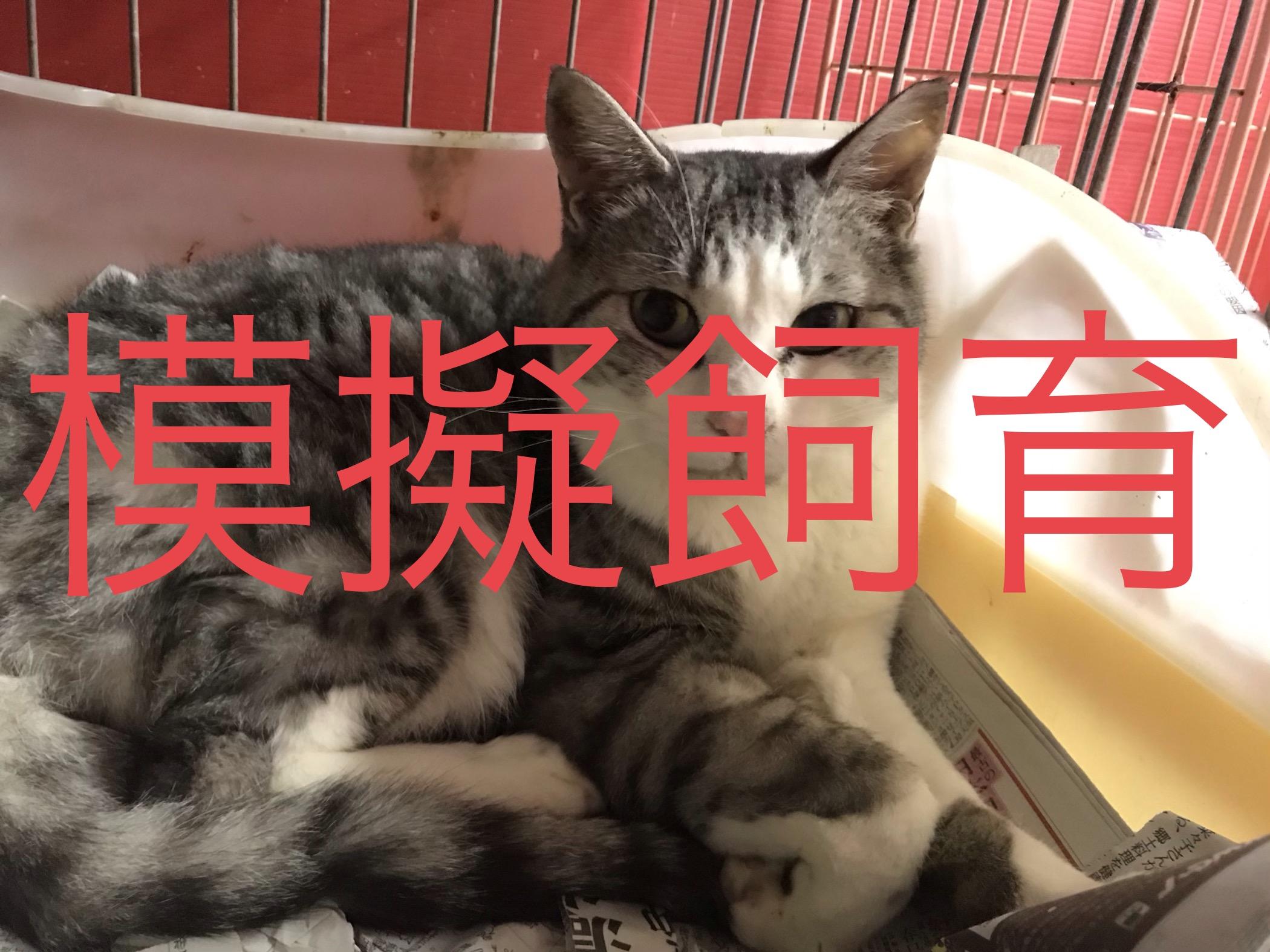 <p></p> <ul> <li>猫種:日本猫 サバ グレー白</li> <li>性別:男の子</li> <li>名前:すみ</li> <li>年齢:4歳</li> <li>保護経緯:飼い主様が海外転勤ため飼育困難になった</li> </ul>