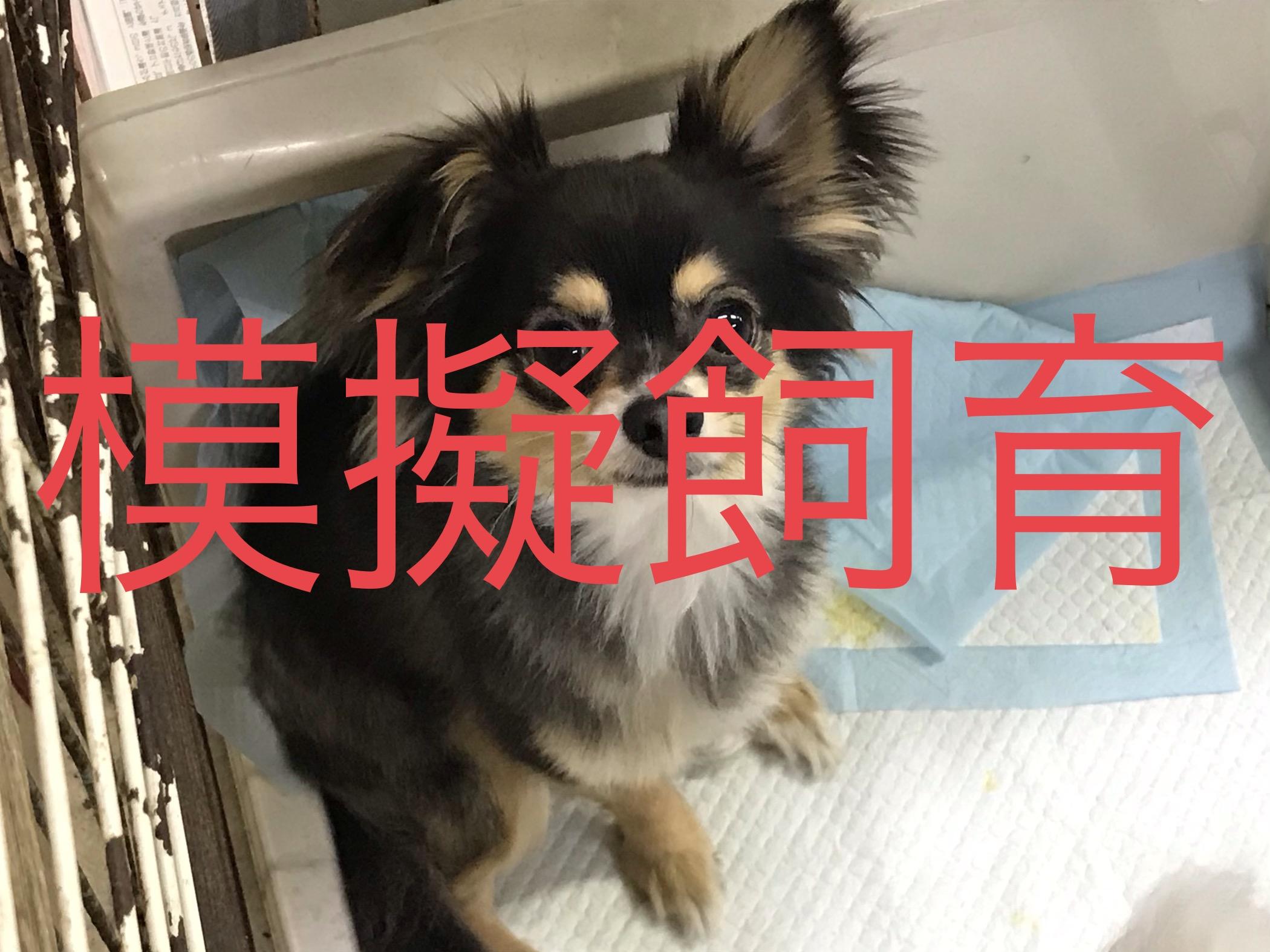 <ul> <li>犬種:チワワ (BT)</li> <li>性別:男の子</li> <li>名前:ムギ</li> <li>年齢:2016年11月</li> <li>保護経緯:飼い主様の諸事情のため飼育困難になりました</li> </ul>