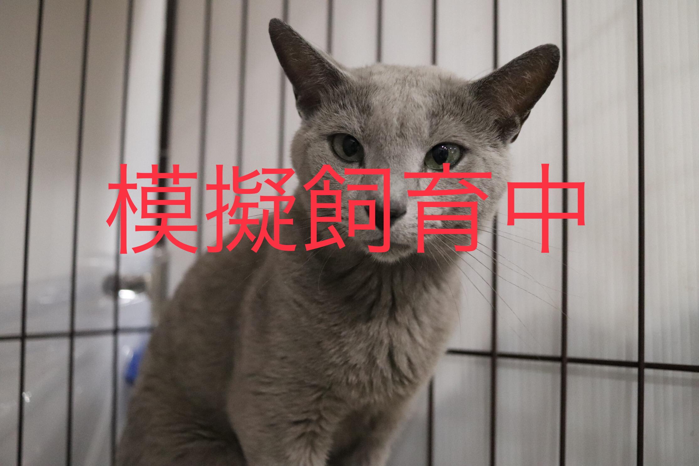 <ul> <li>猫種:ロシアンブルー系雑種</li> <li>性別:男の子</li> <li>名前:りゅう</li> <li>年齢:2016年3月頃生まれ</li> <li>保護経緯:家族にアレルギーが発症したため飼育困難になりました</li> </ul>