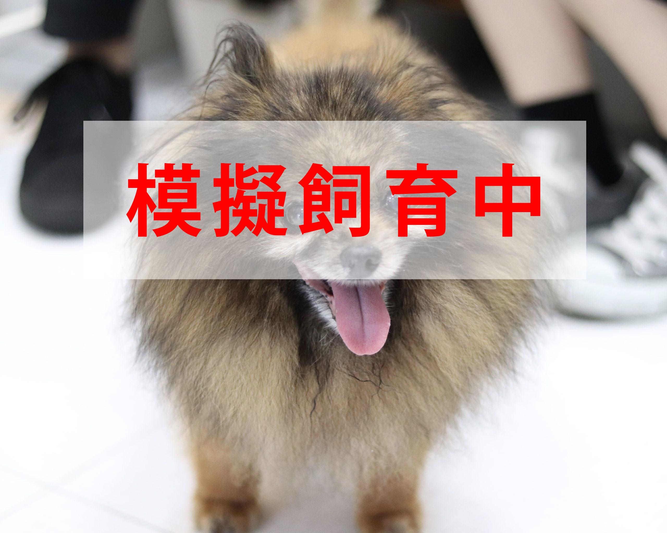 <ul> <li>犬種:ポメラニアン</li> <li>性別:男の子</li> <li>名前:こあさ</li> <li>年齢:2005〜2007年頃生まれ</li> <li>保護経緯:飼い主が高齢で病気療養になり、親族も引継いで飼うことが困難</li> </ul>